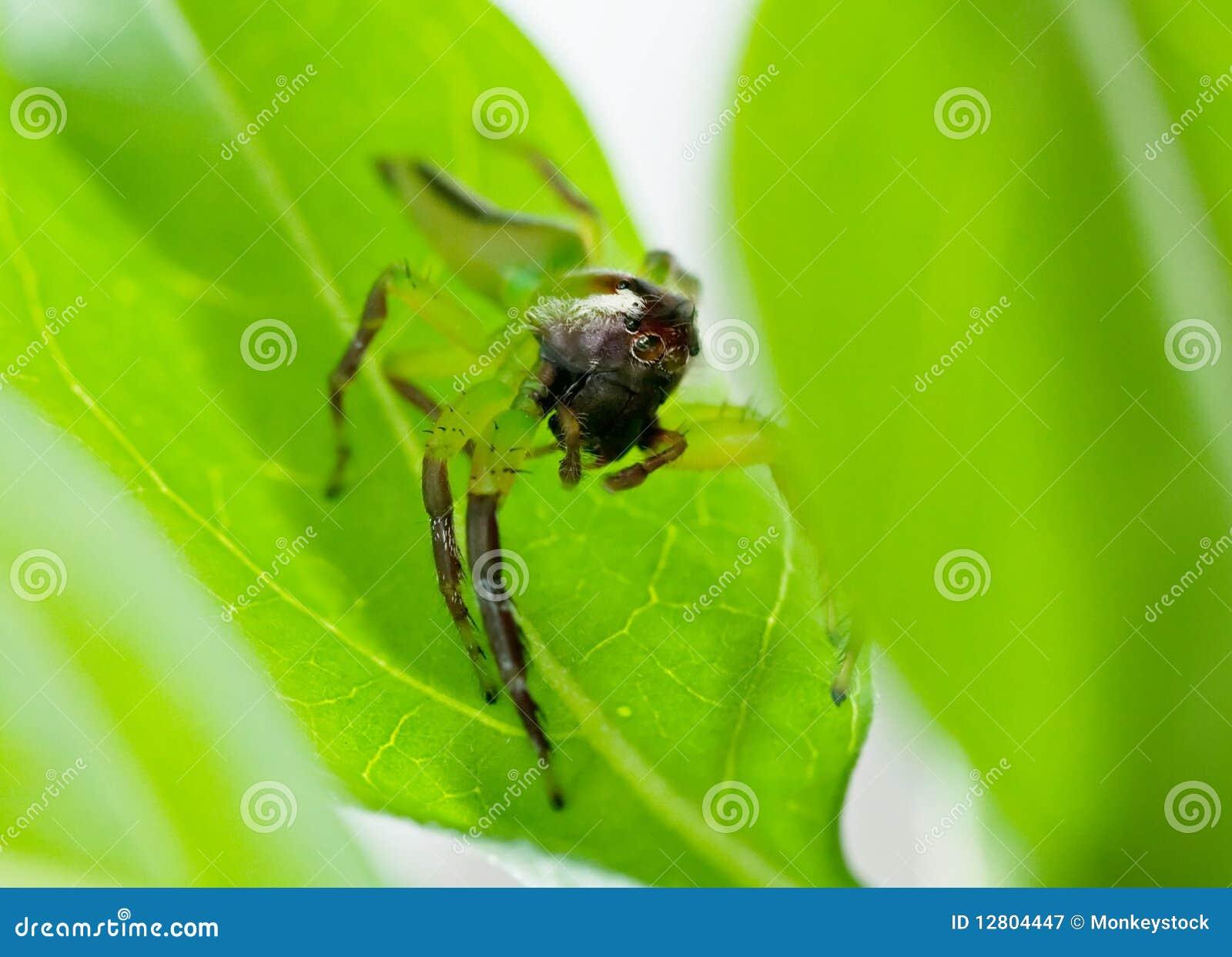 Aranha de salto verde masculina
