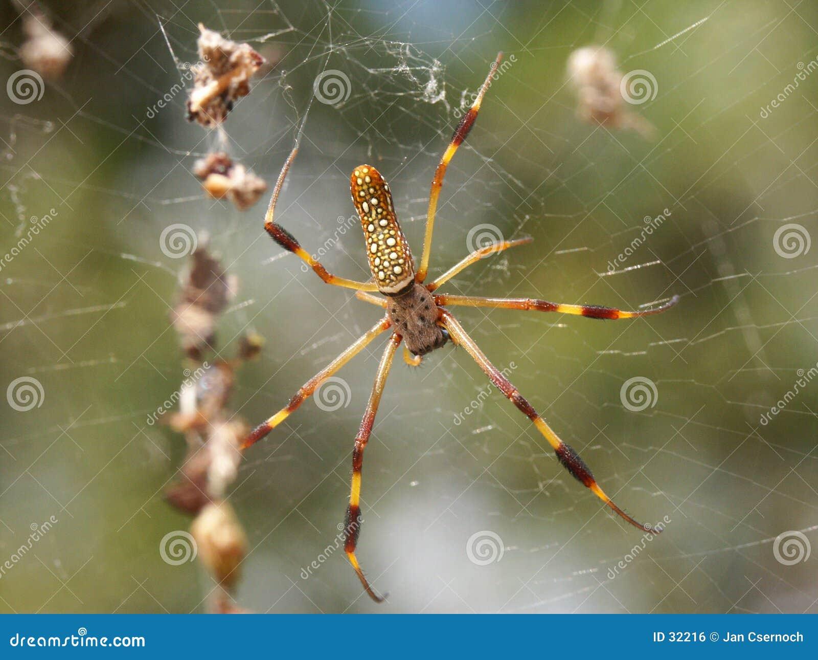 Aranha de seda dourada do tecelão da esfera