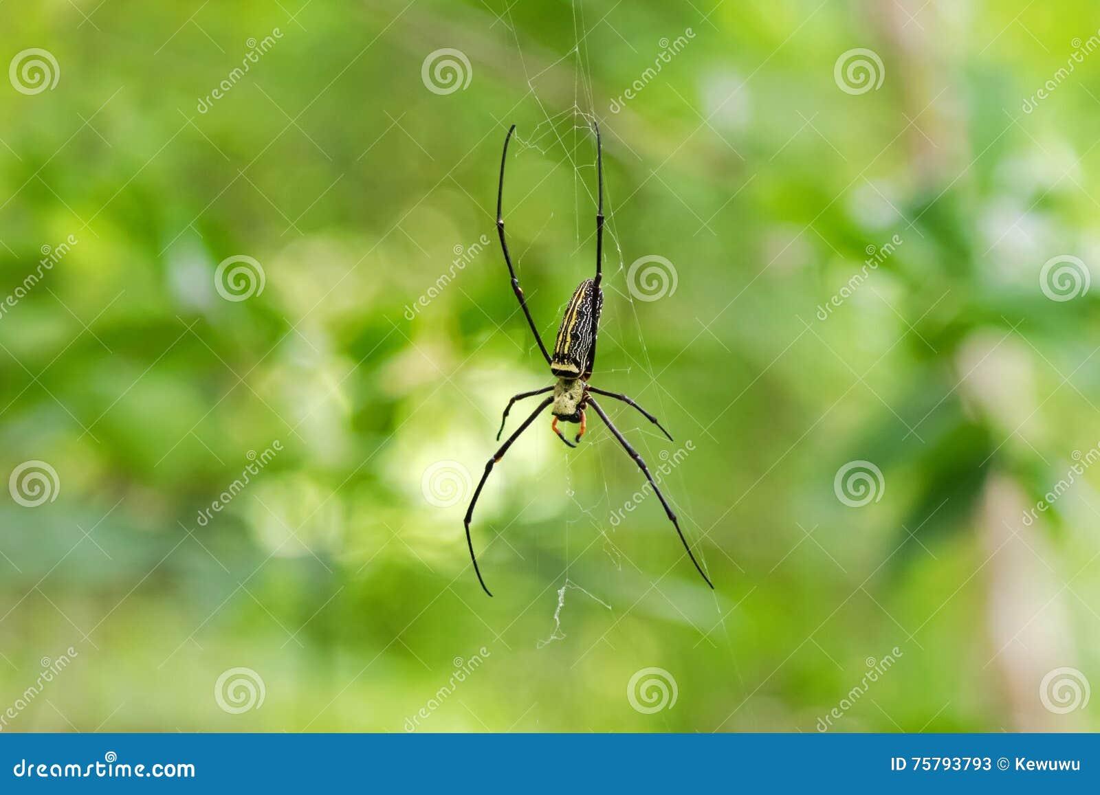Aranha de seda dourada enorme do tecelão da esfera que pendura de sua Web