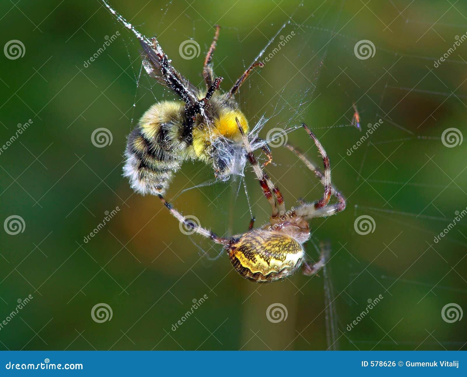 Aranha e sua vítima.