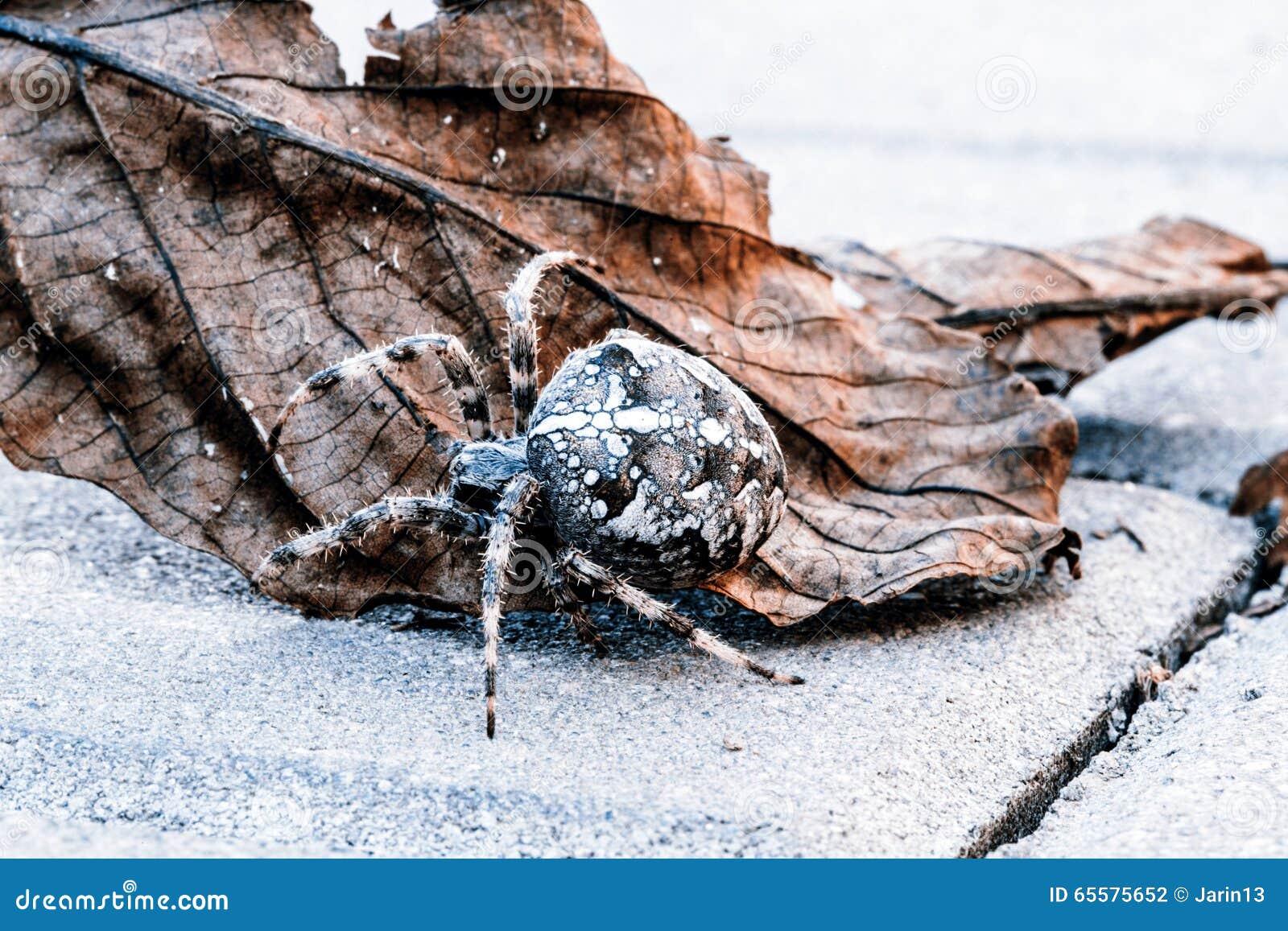 Aranha grande da esfera na folha
