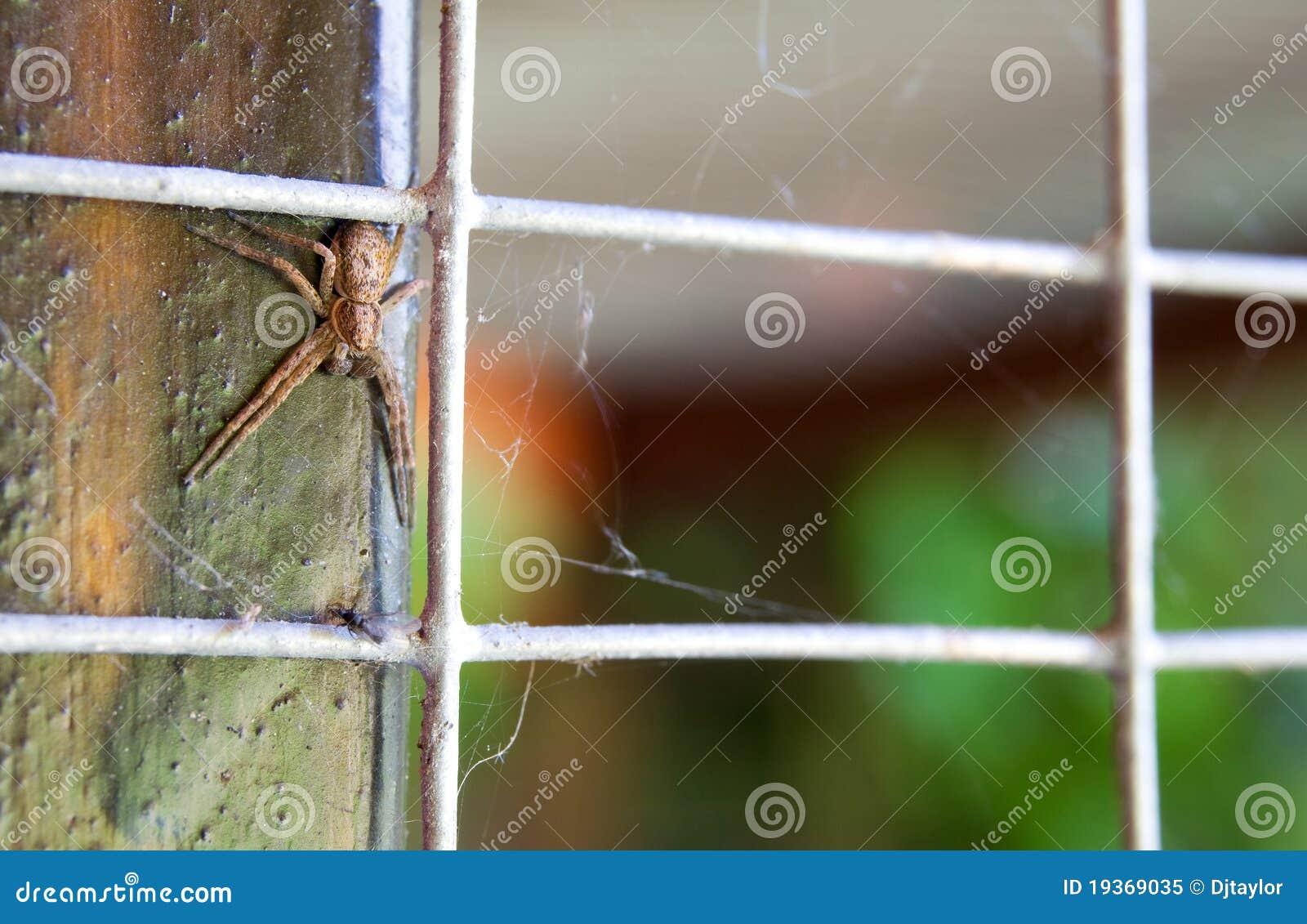 Aranha Philodromus do caranguejo dispar