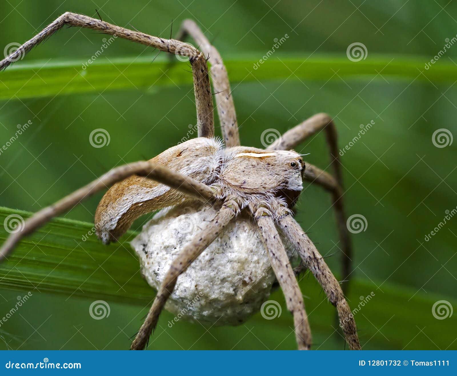 Aranha que protege seu casulo