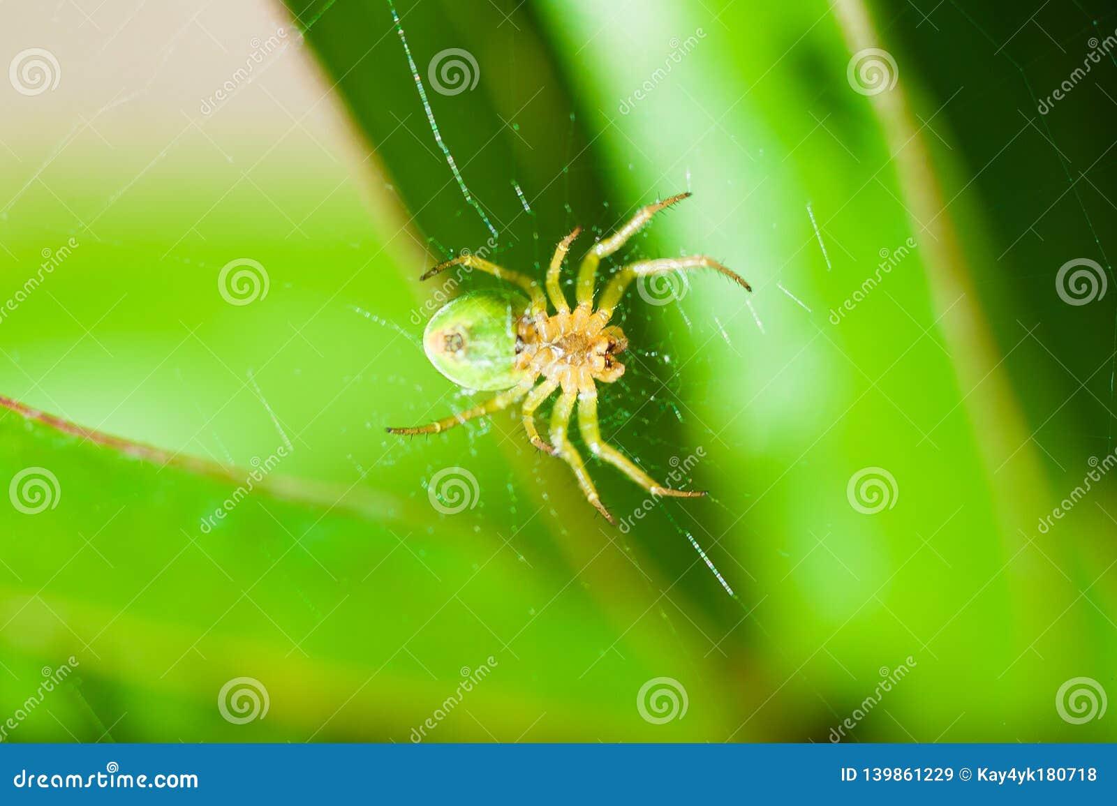 A aranha verde senta-se na Web e nas esperas para a rapina