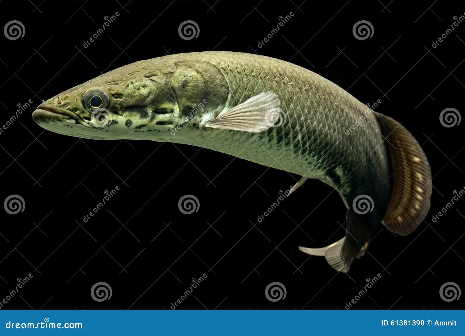 Freshwater juvenile fish - Arapaima One Of The Biggest Freshwater Fish