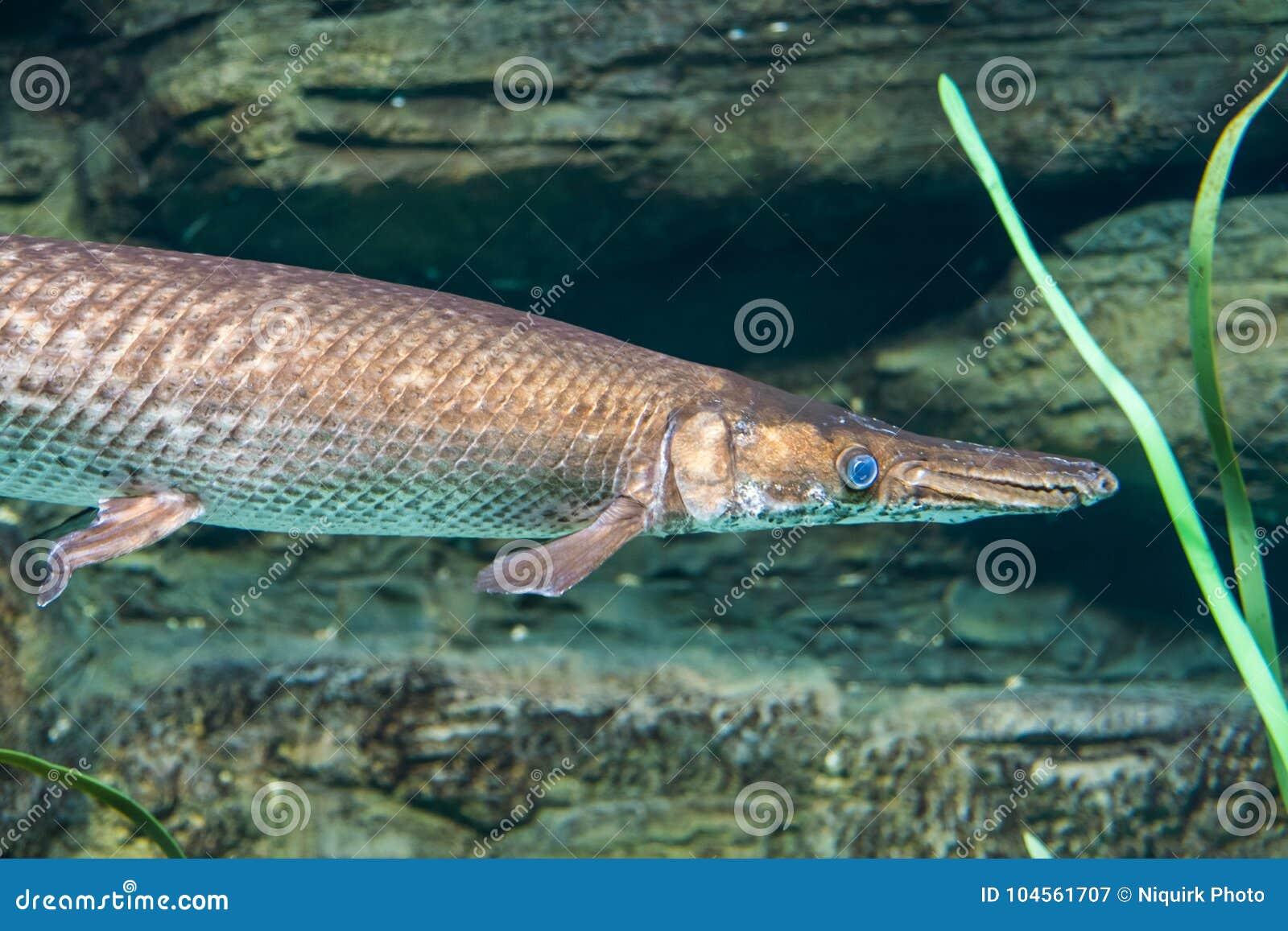 df79278e8ff Arapaima, Pirarucu, Endangered Fish Stock Image - Image of fresh ...