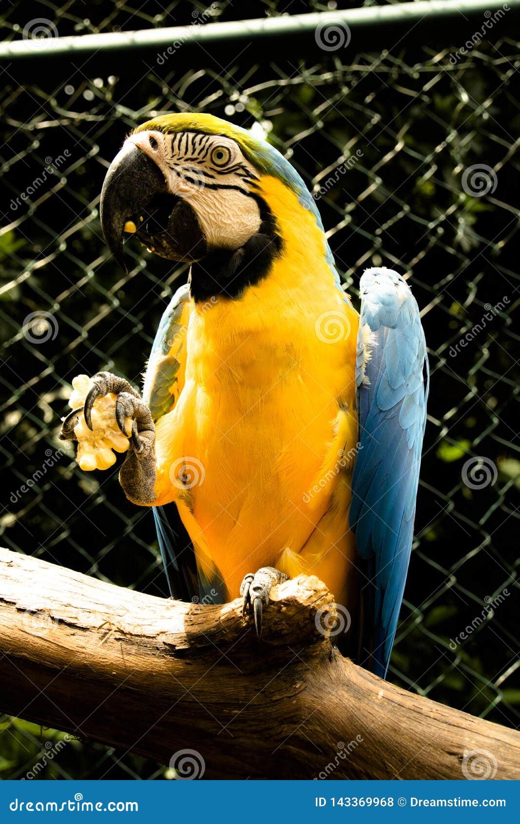 Arara bleu mangeant en captivité