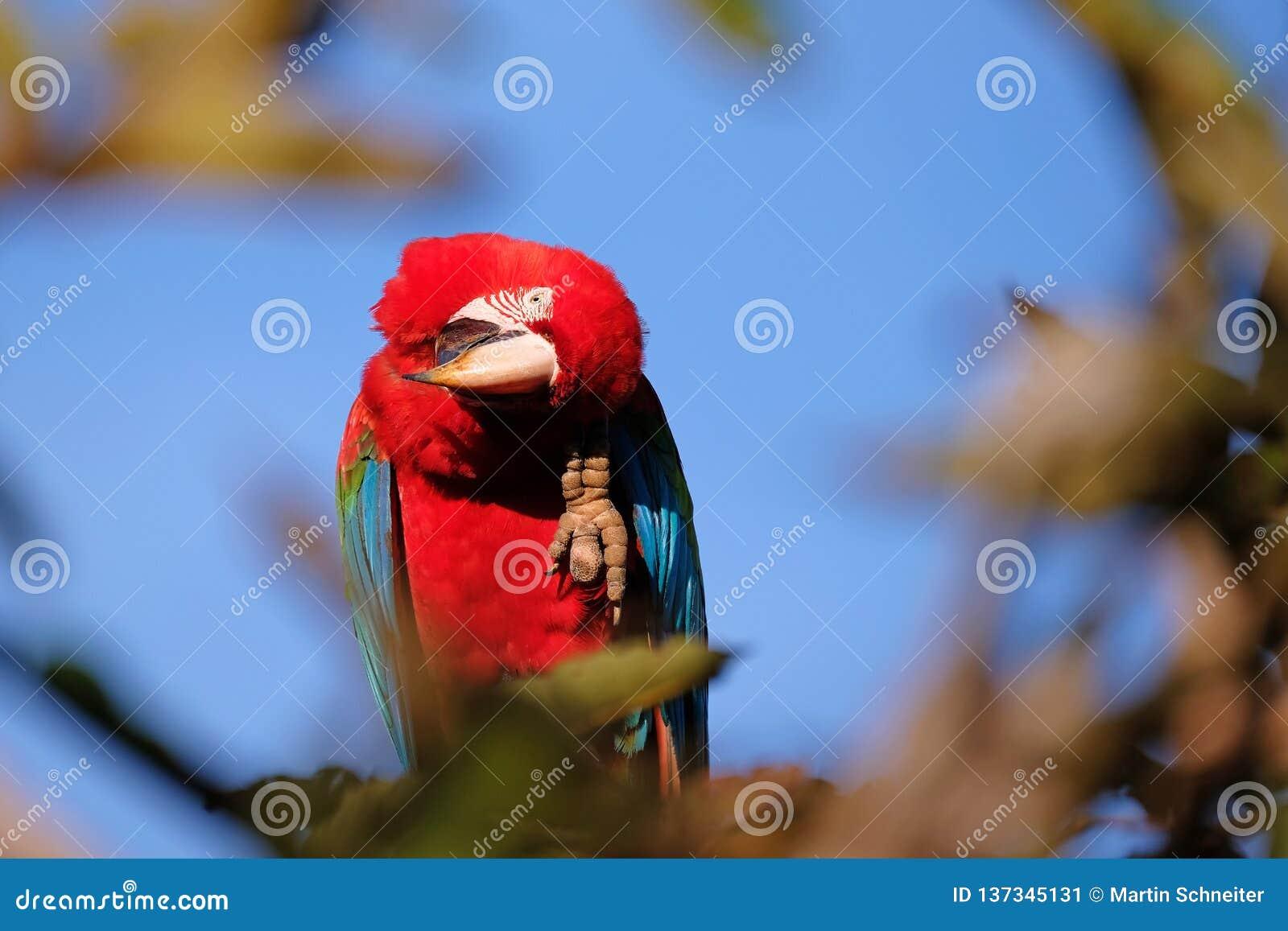 Arara vermelha e verde, Ara Chloropterus, Buraco DAS Araras, perto do bonito, Pantanal, Brasil