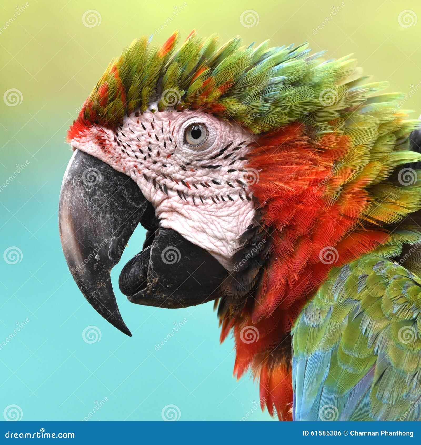 Arara voada do pássaro verde bonito