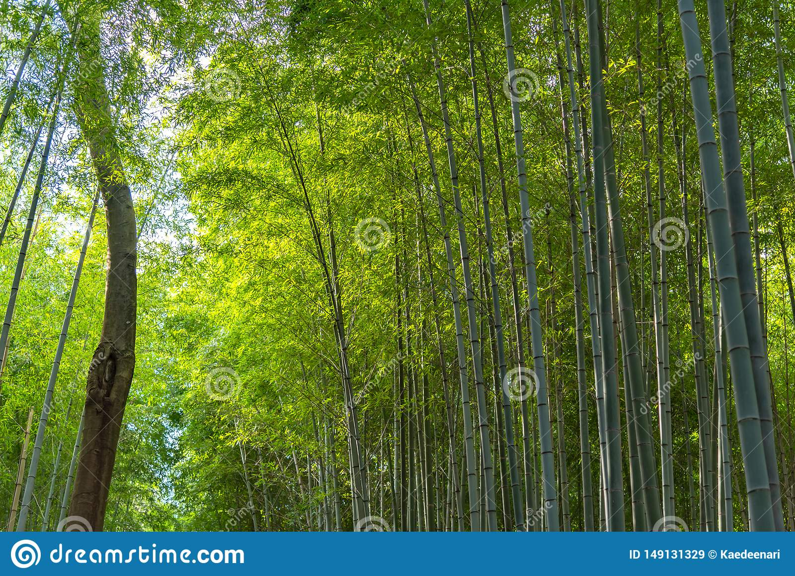 Arashiyama Bamboo Grove Zen garden, a natural forest of bamboo in Arashiyama, Kyoto