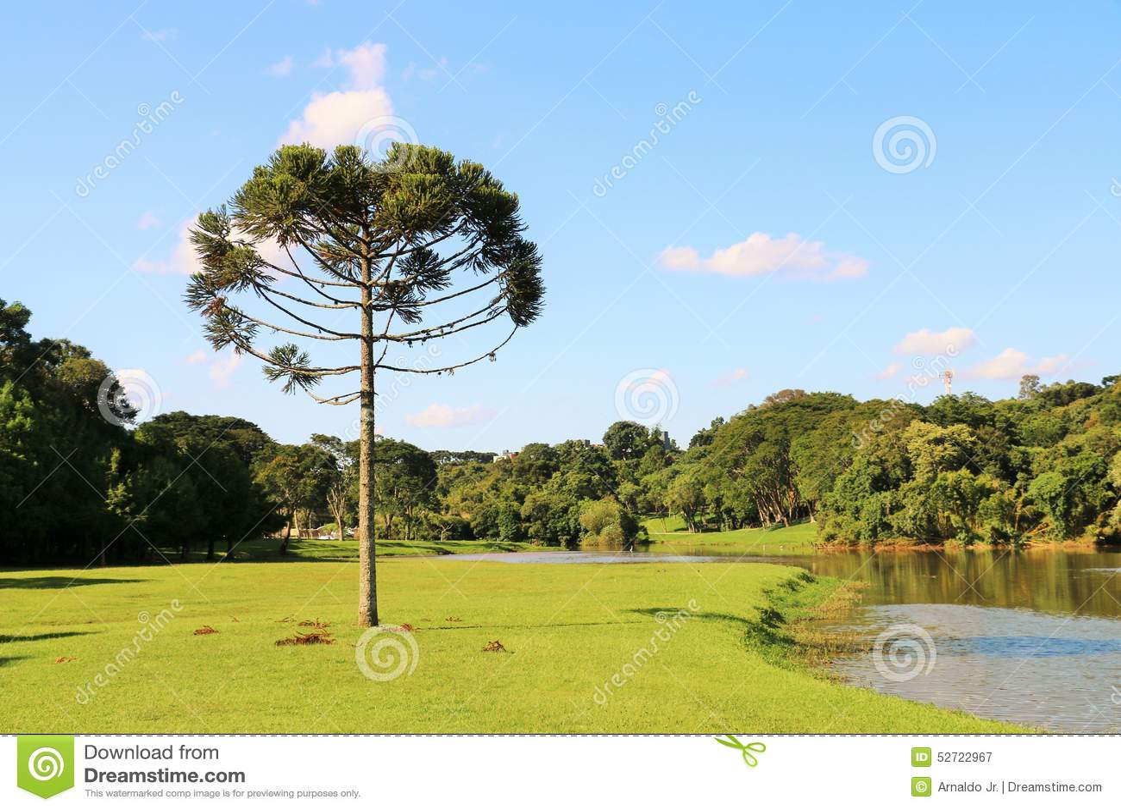 Araucaria Angustifolia (pino brasileño)