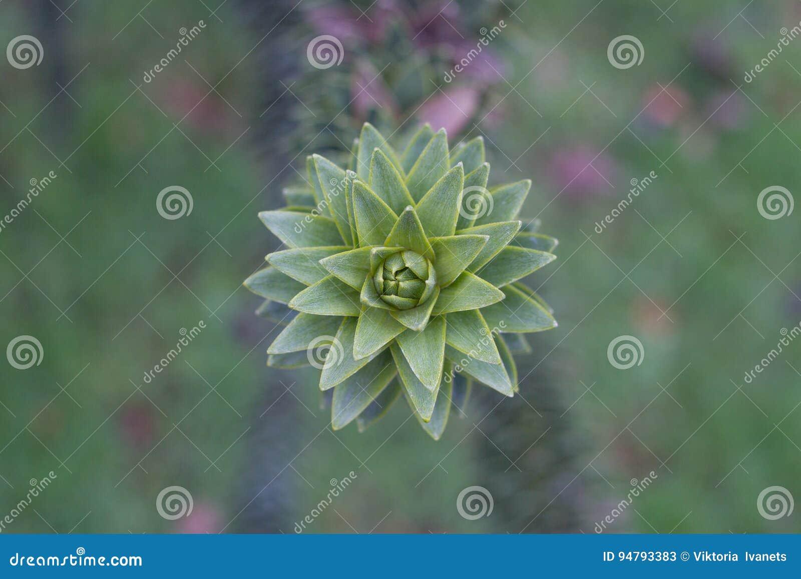 Araucariaaraucanafilial med gröna sjöar Makrofoto av skarpa sidor