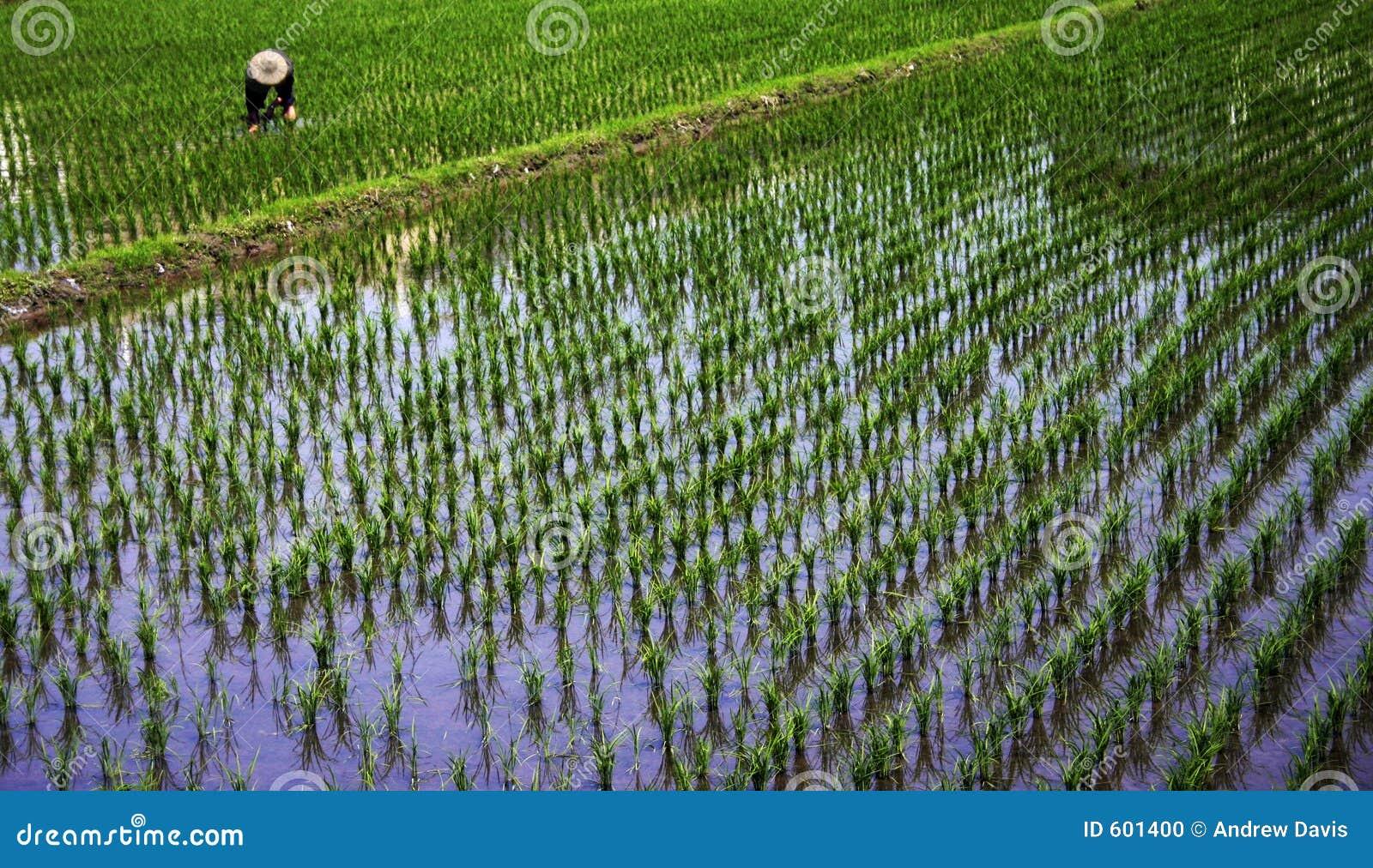 Arbeider in een padieveld