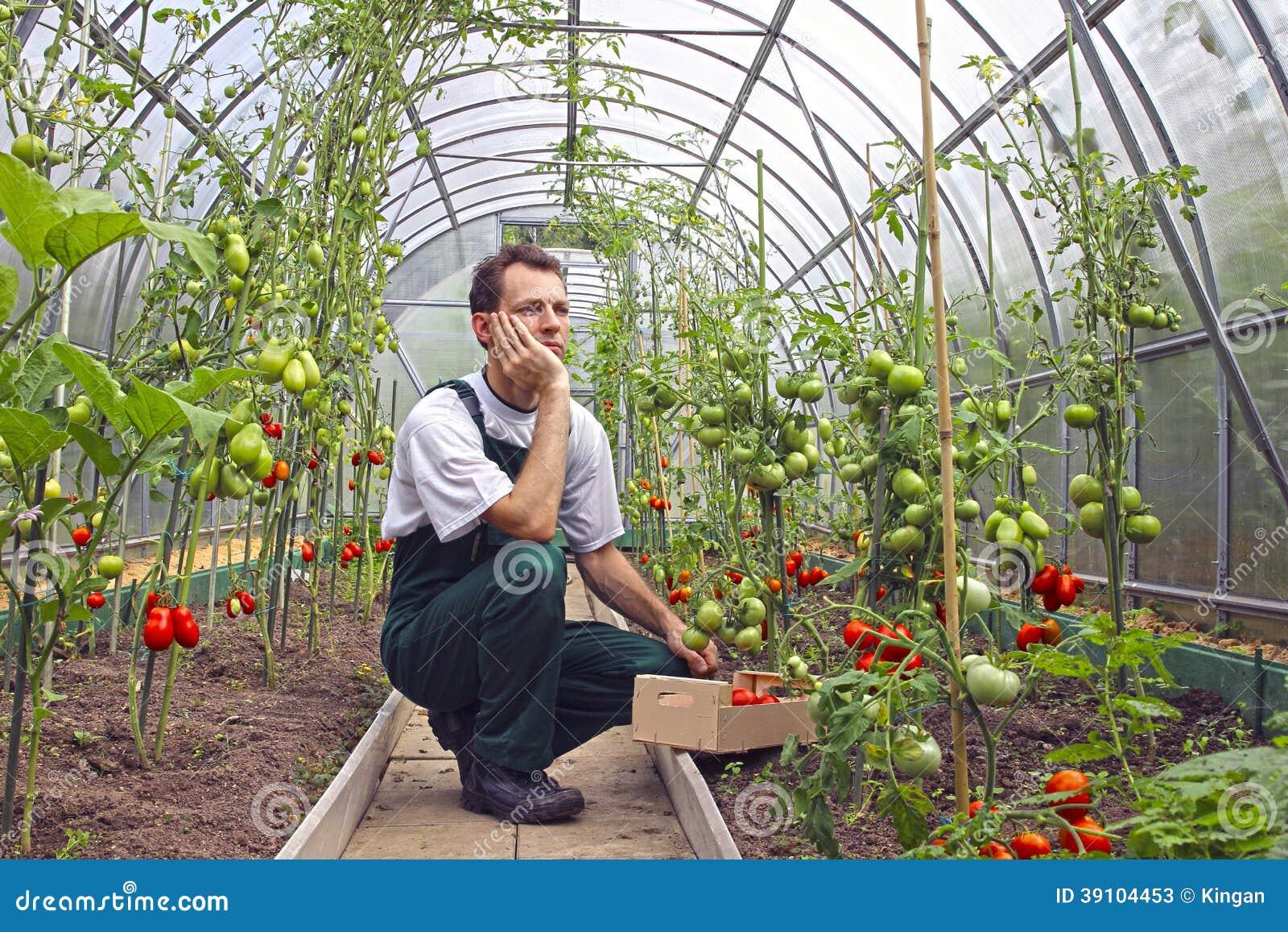 Arbeiderszitting die over de oogst van tomat denken