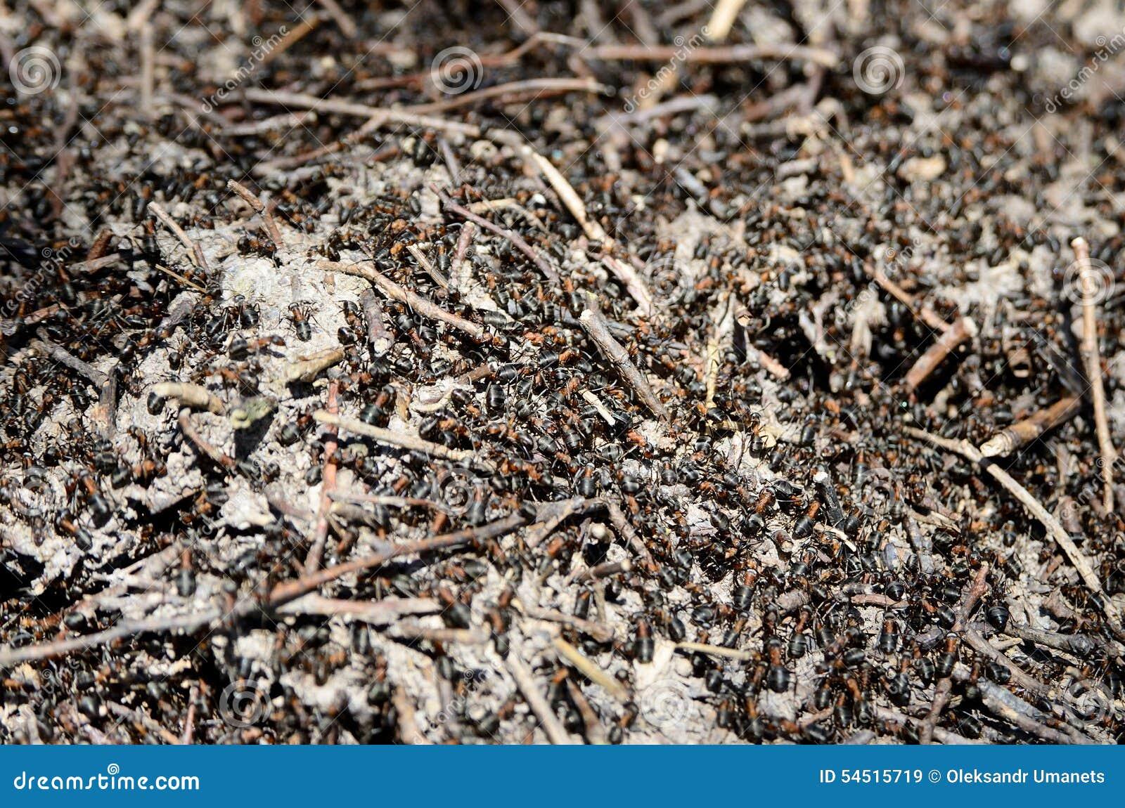 Arbeitskraftameisen, die im Wald in den Ameisenhaufen kriechen