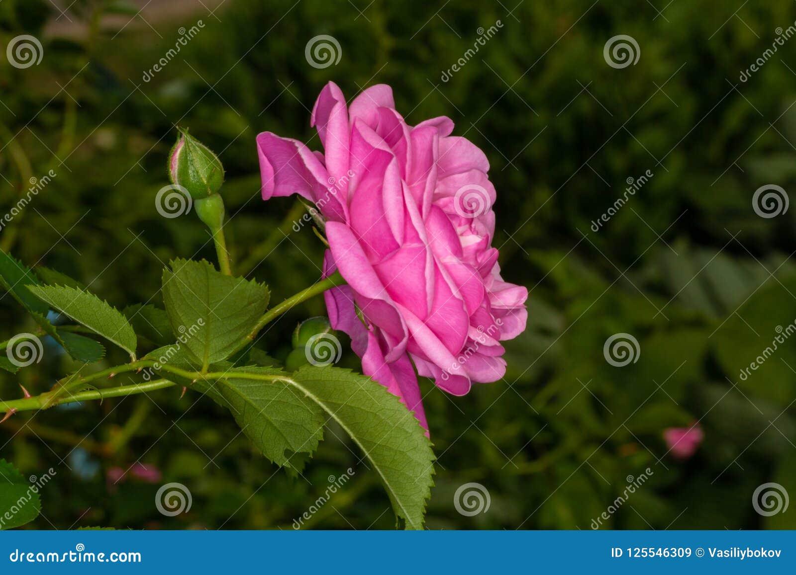 Arbeta i trädgården rosa