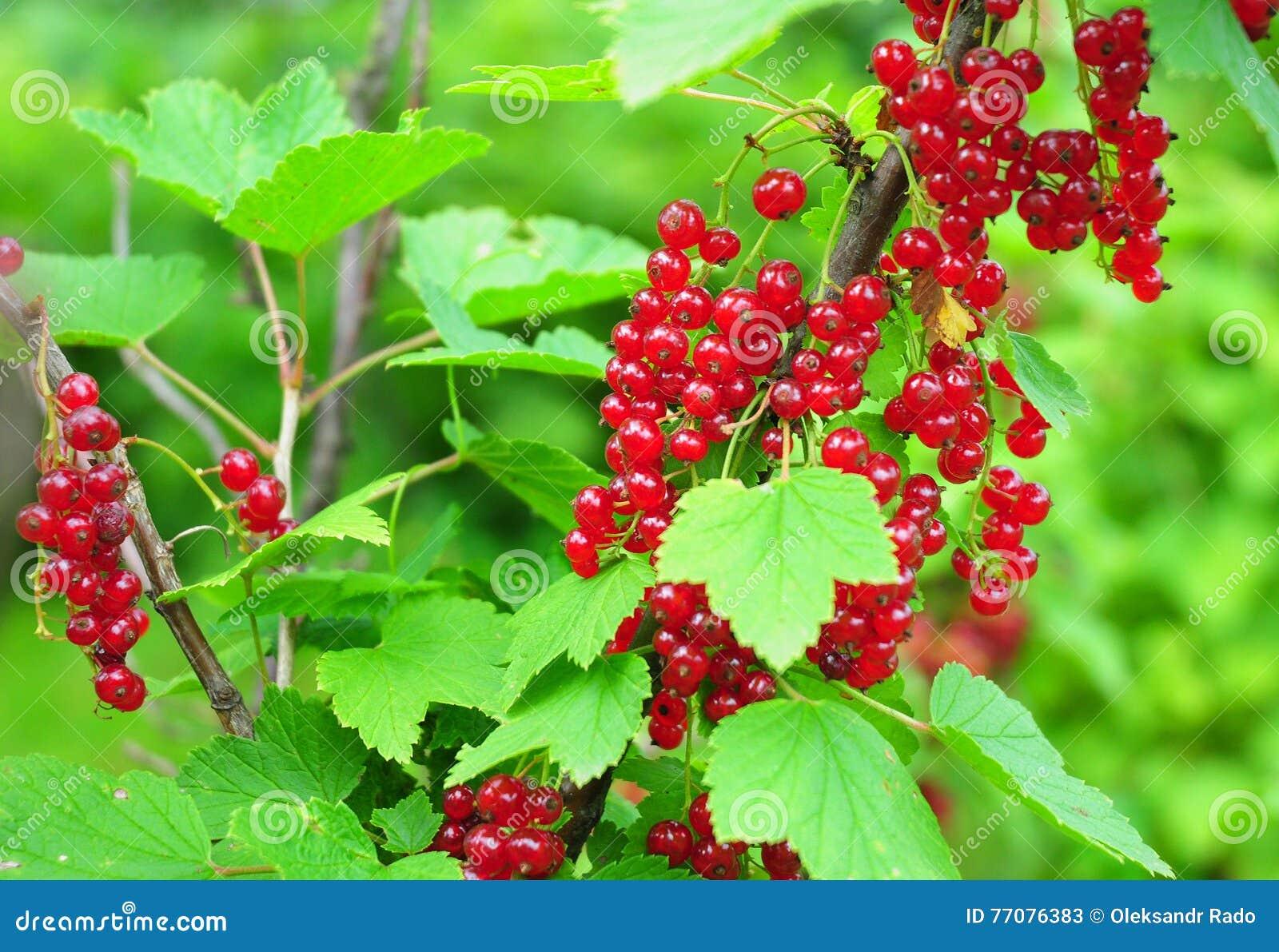 Arbeta i trädgården som är organiskt Ribesrubrumen för redcurrant eller för röd vinbär
