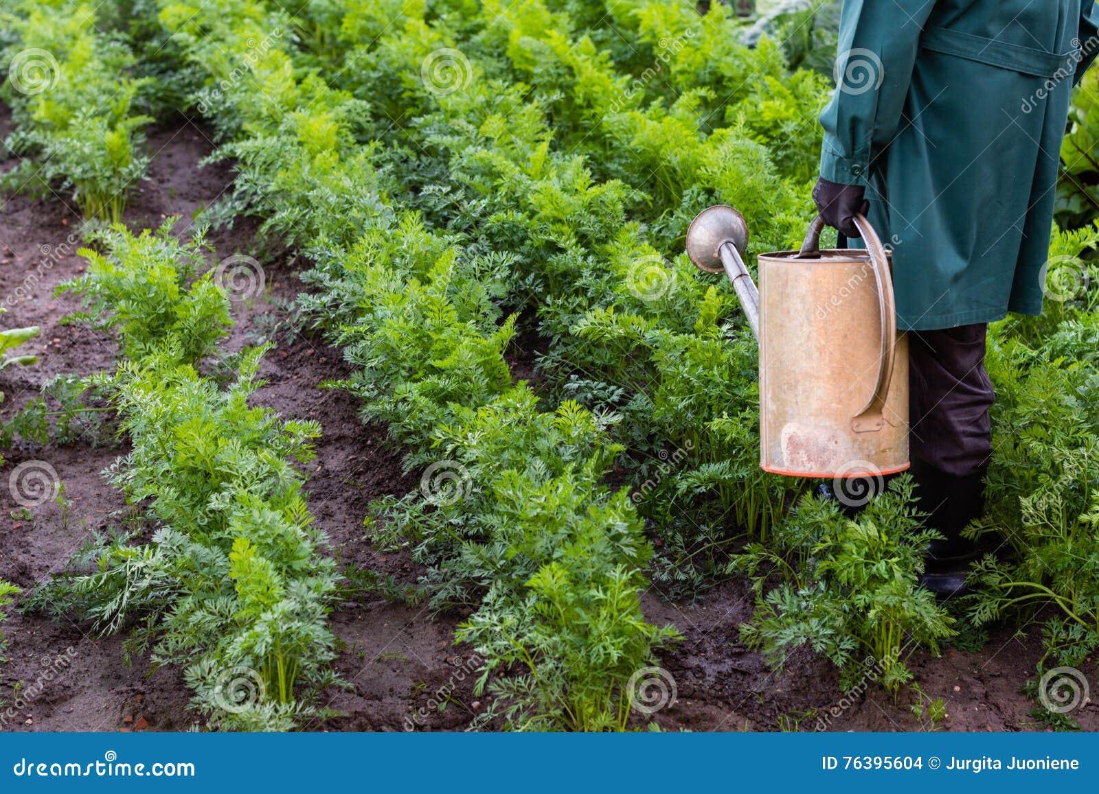 Arbetaren bevattnar morötter i trädgården