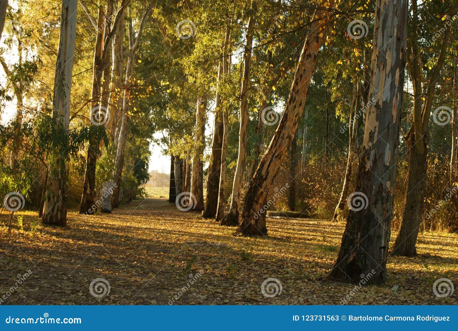 Arboleda del eucalipto con el sol de la puesta del sol en otoño