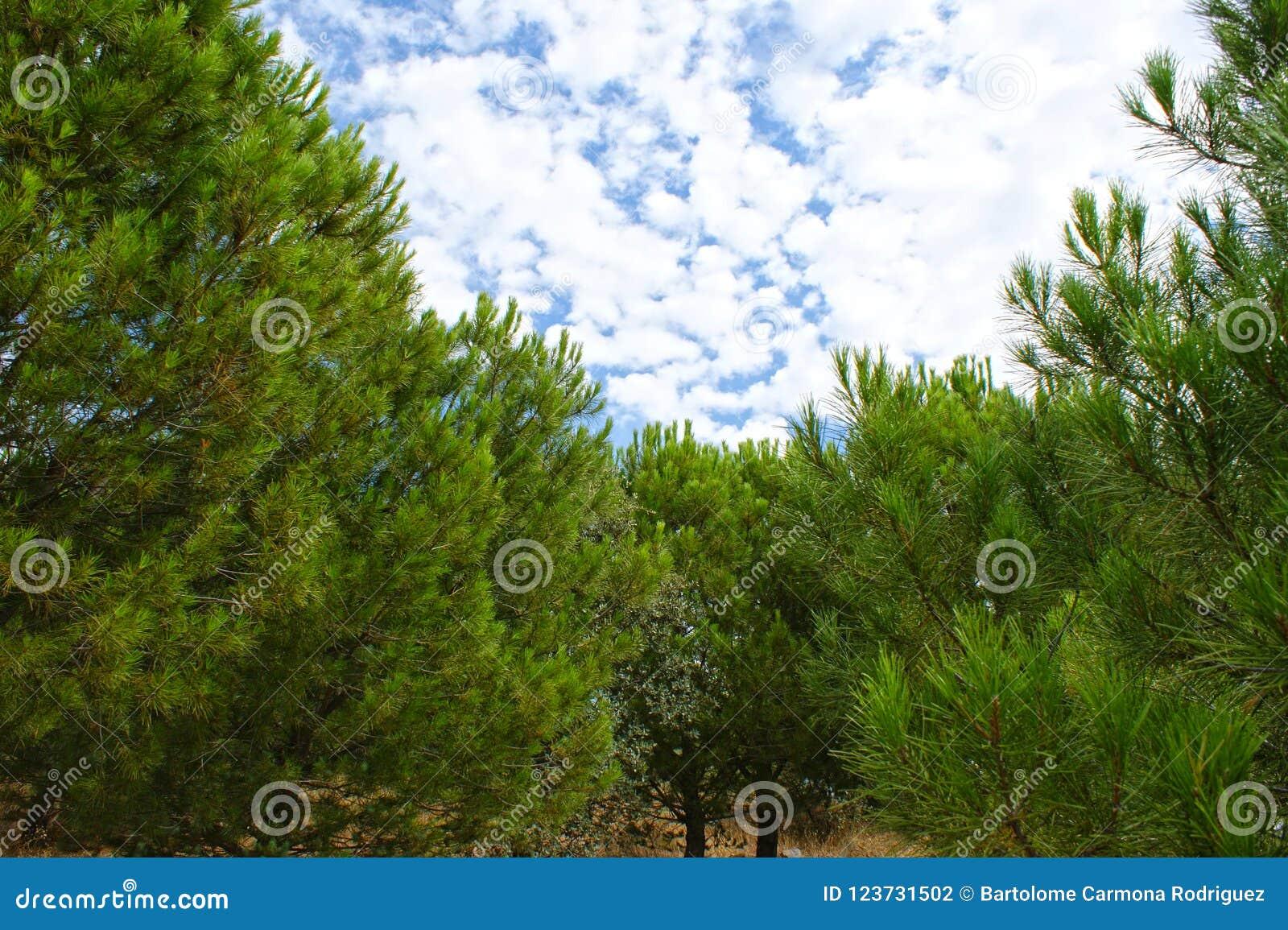 Arboleda del pino cubierta con las nubes sobre el cielo azul