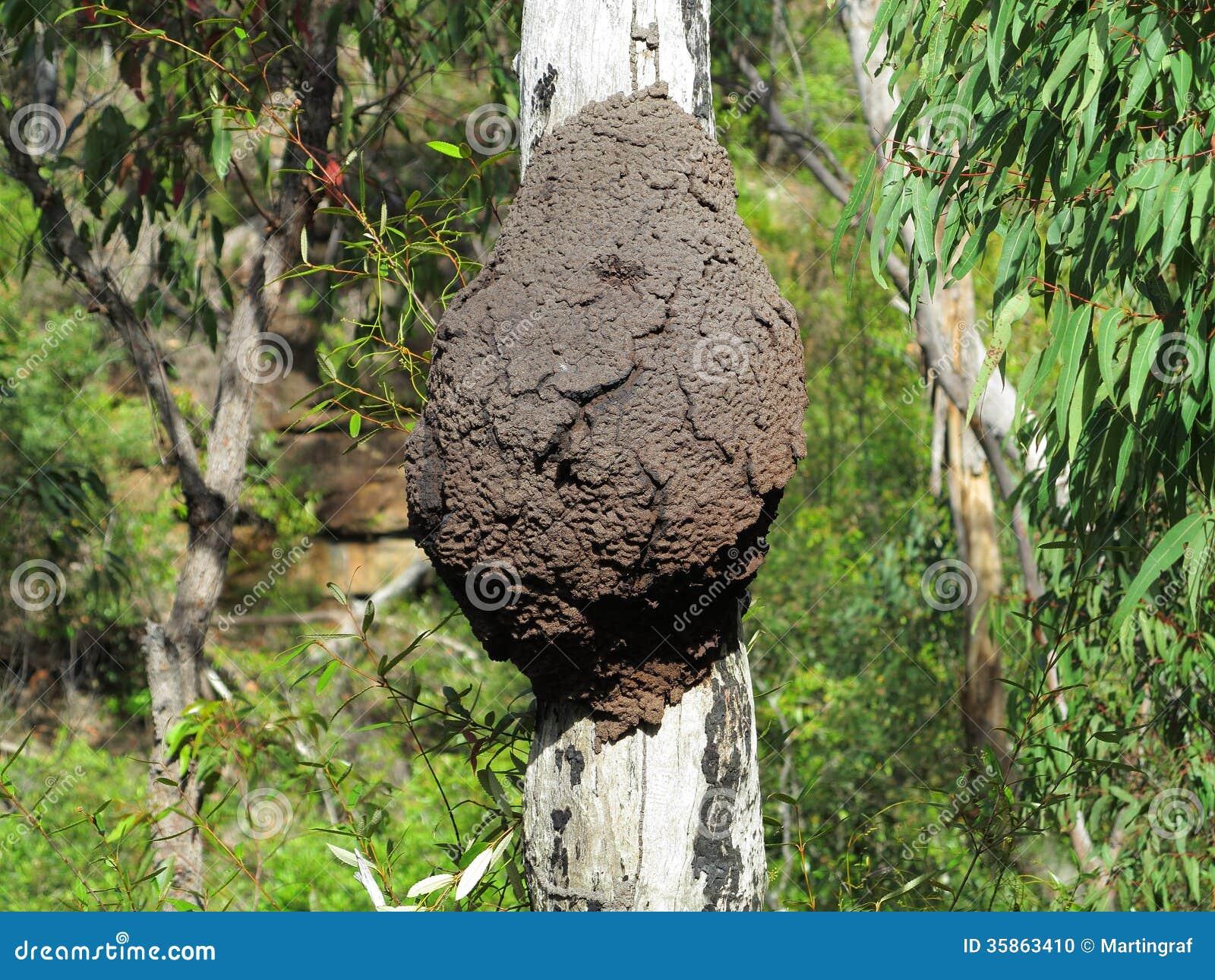 Arboreal Termite Nest On Tree Trunk Stock Photo Image Of Environment Australia 35863410