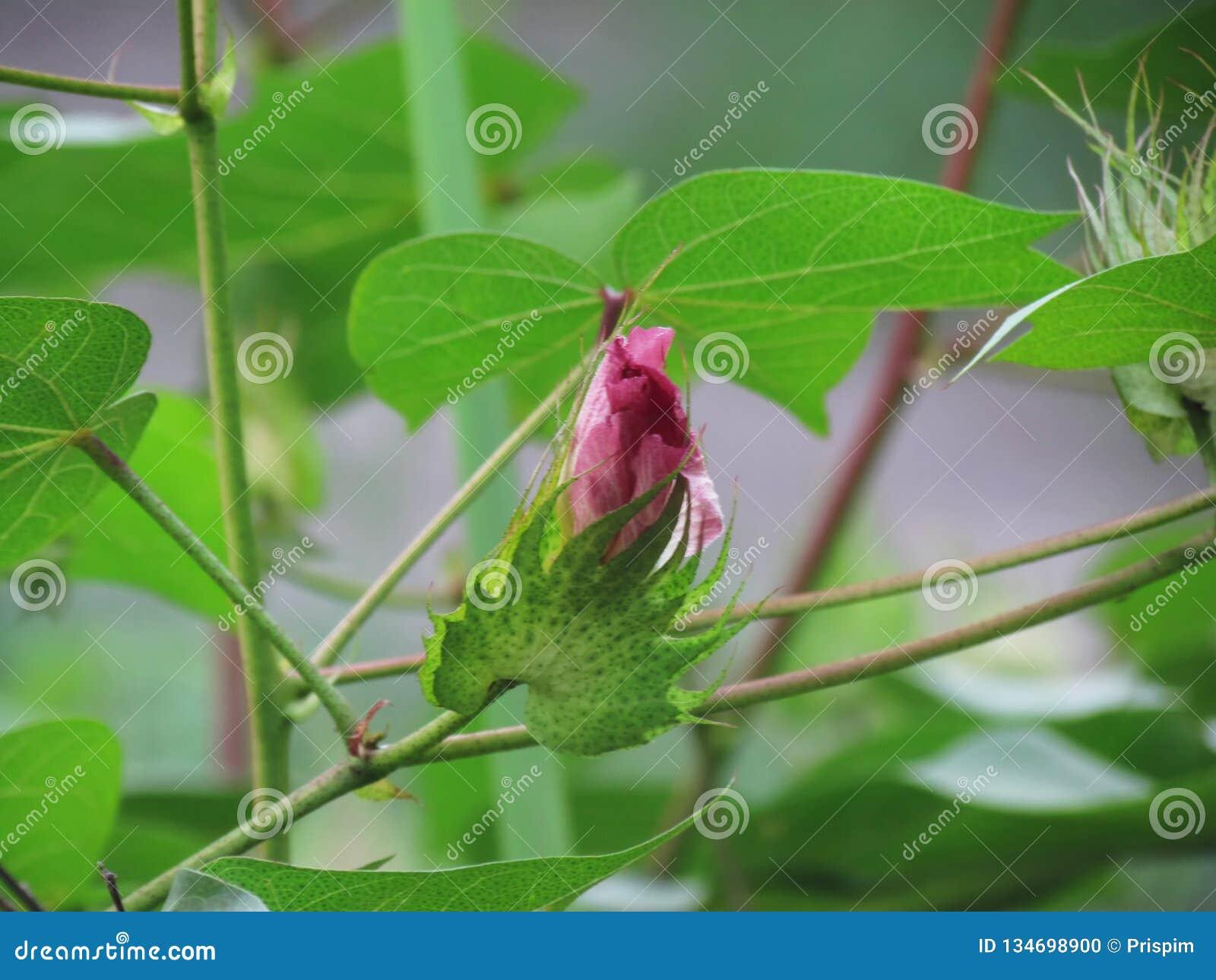 Branche Fleur De Coton arboreum rose doux l de gossypium d'espèces de gossypium d