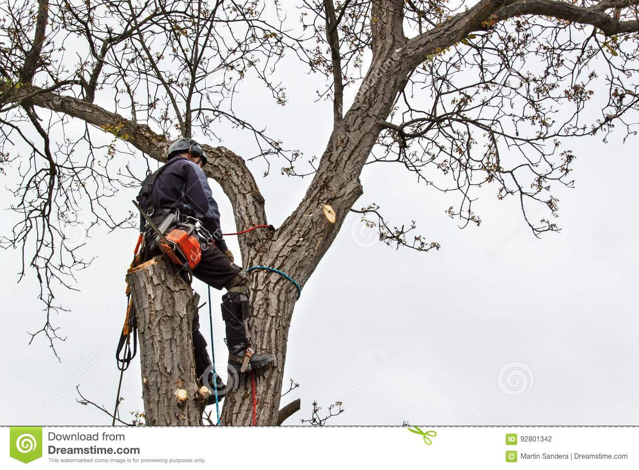 Arborist using a chainsaw to cut a walnut tree. Lumberjack with saw and harness pruning a tree.