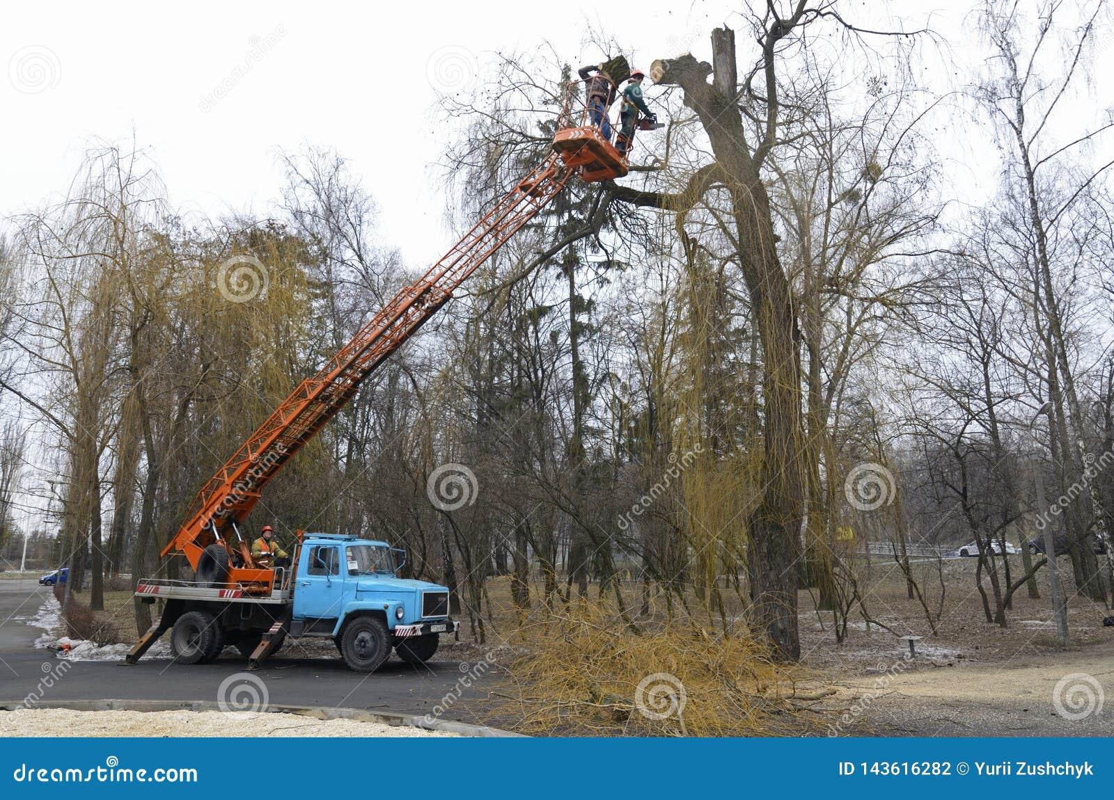Arborists klippte filialer av ett träd genom att använda denmonterade elevatorn