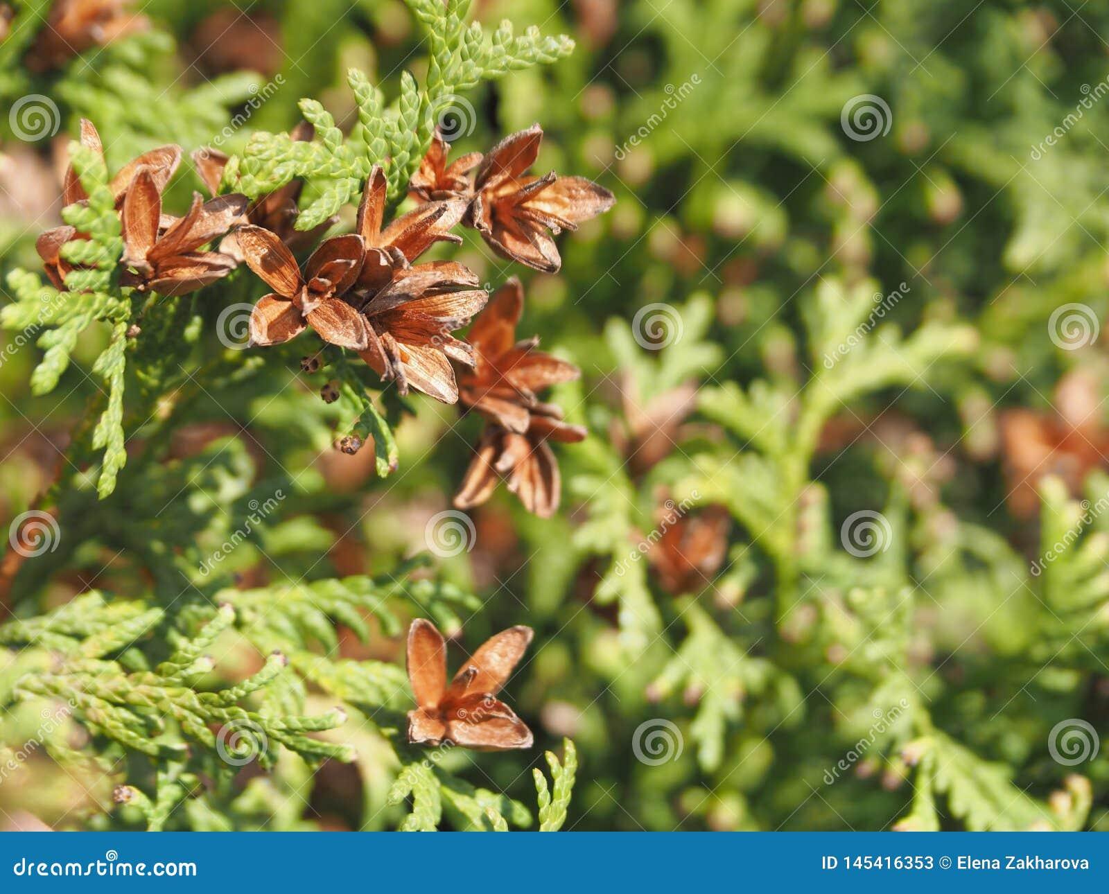 Arborvitae орнаментальный вечнозеленый завод, украшение сада