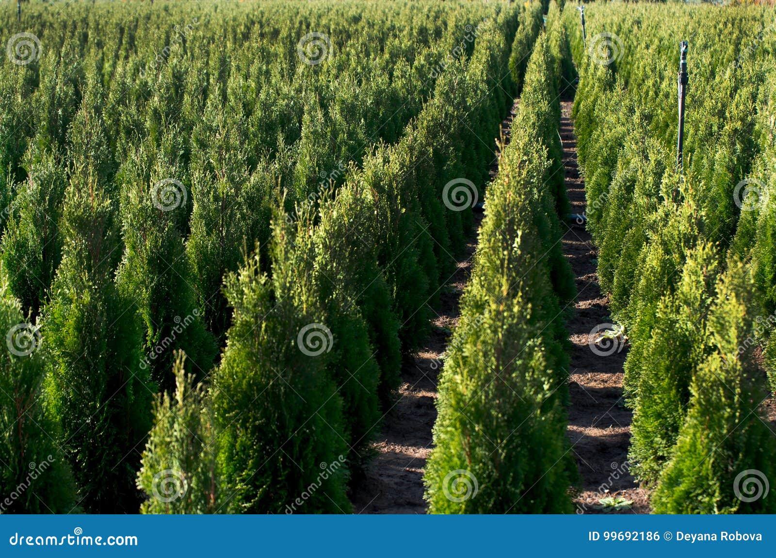 Arborvitae Cedro di Goldstrike Scuola materna per i molti thuja verde in natura