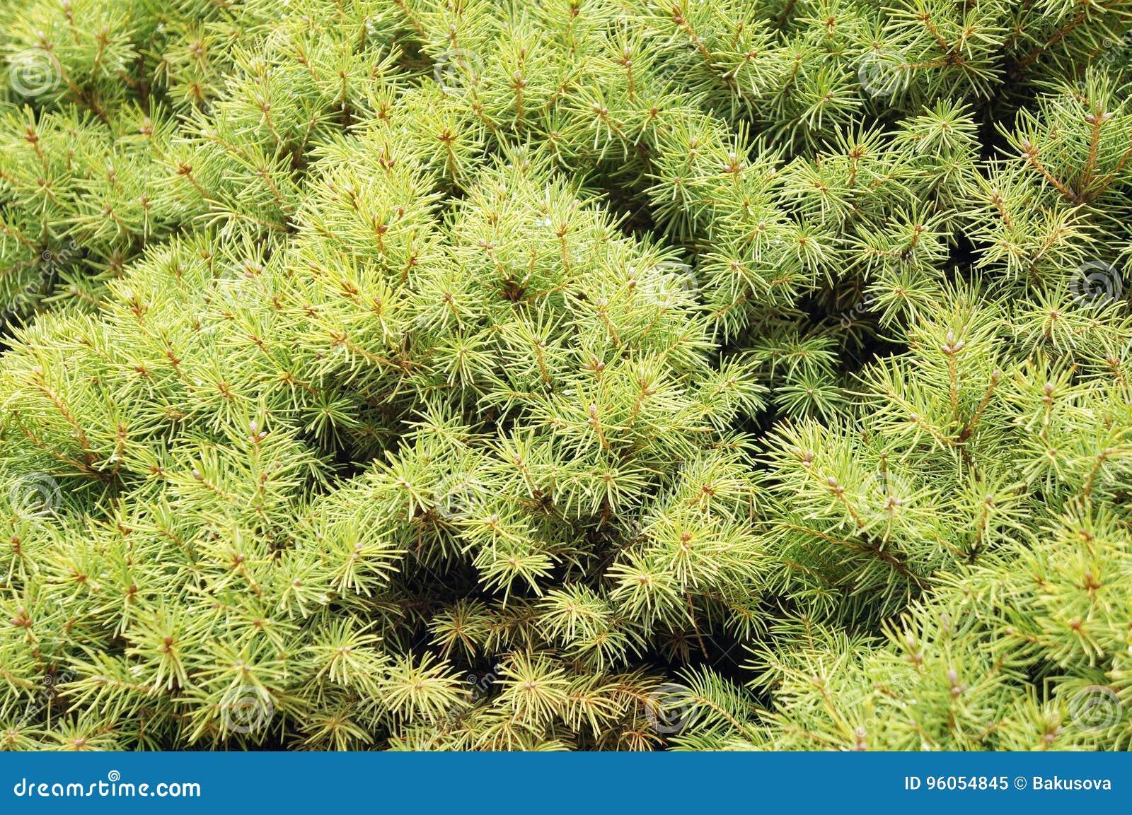 Arborvitae de Thuja avec des baisses de pluie
