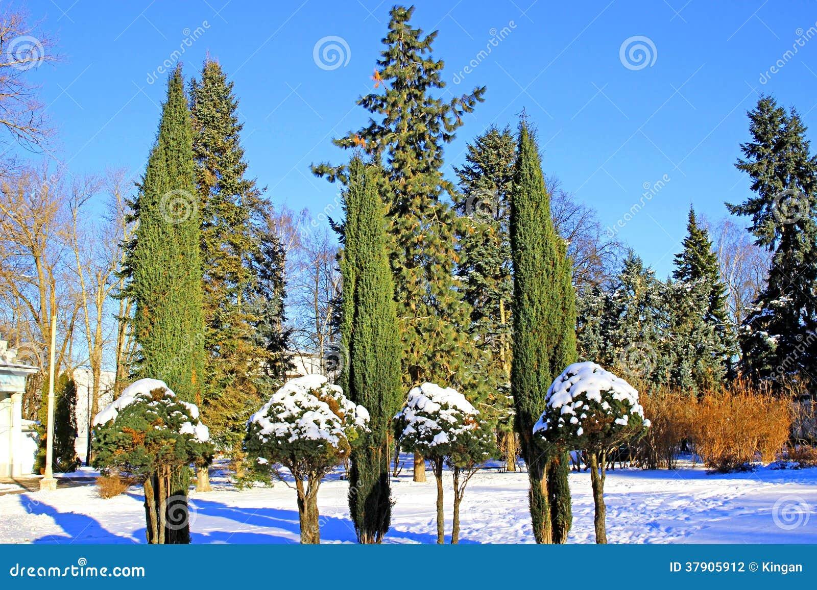 Arborvitae en cipresbomen in de winter