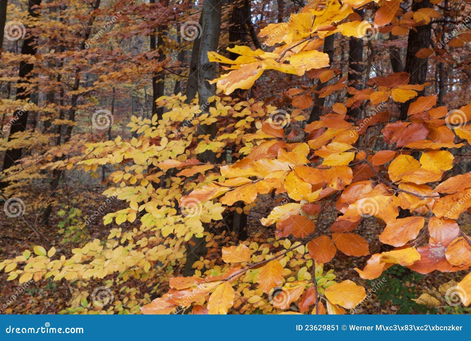 Arbre feuilles caduques en automne - Arbres a feuilles caduques ...