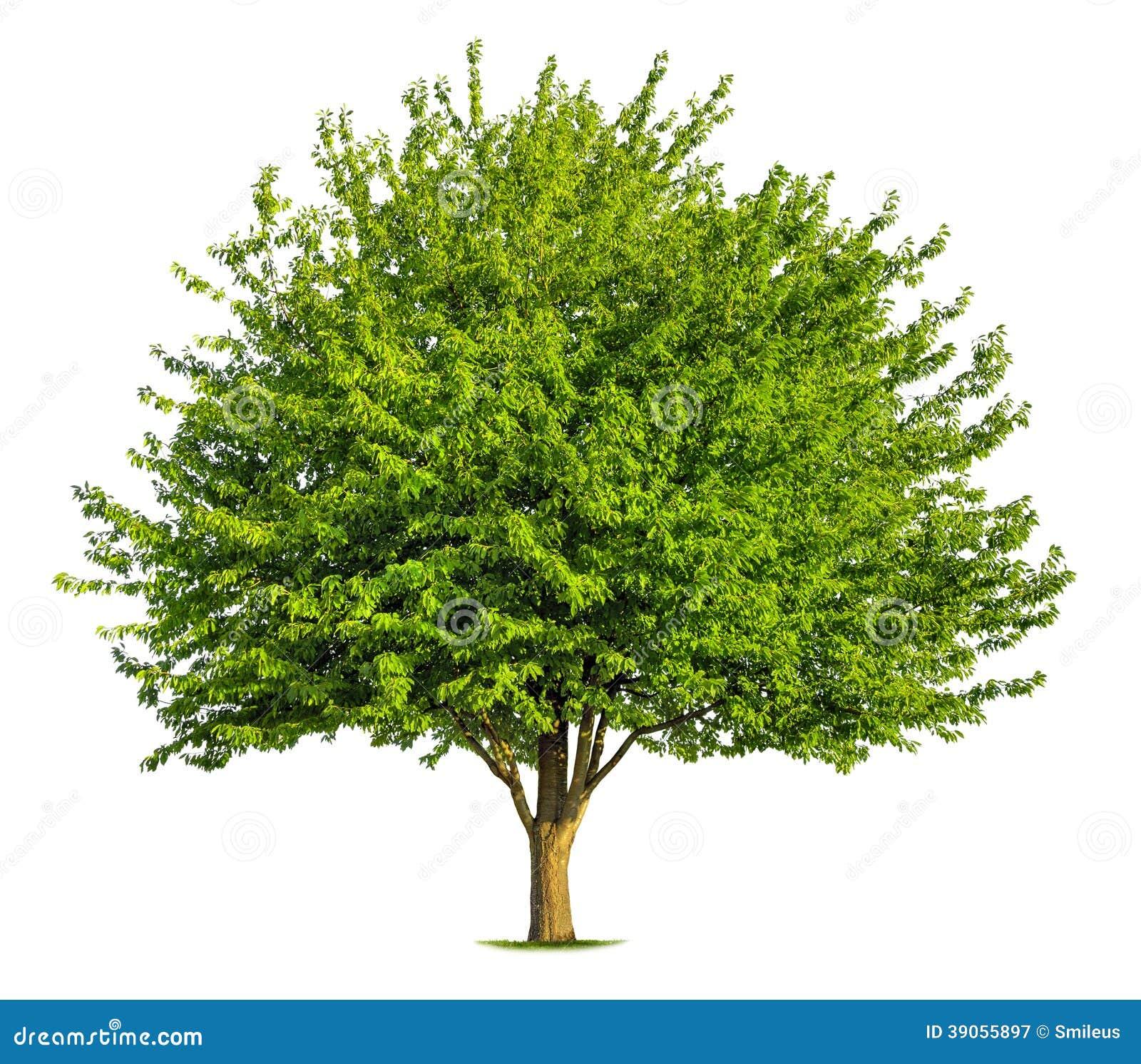 arbre feuilles caduques gentil sur le blanc image stock image du grand sain 39055897. Black Bedroom Furniture Sets. Home Design Ideas