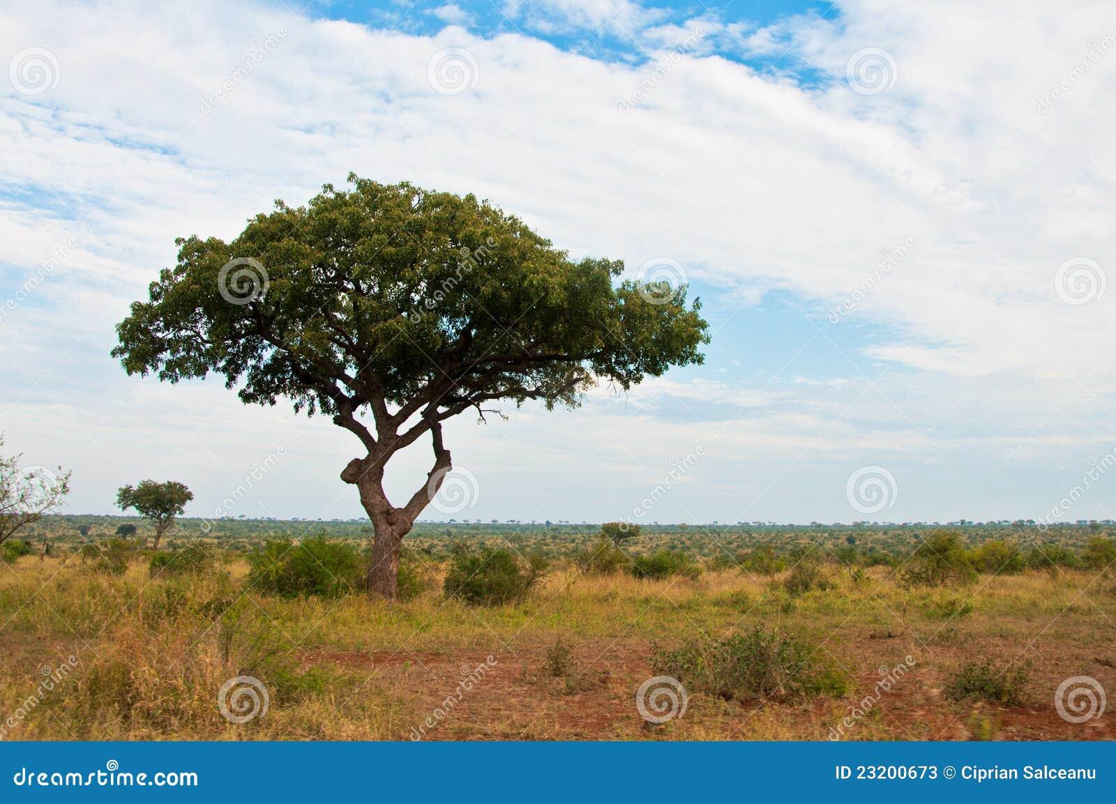 Arbre africain de wth d 39 horizontal de la savane photos stock image 23200673 - Arbre africain en 7 lettres ...