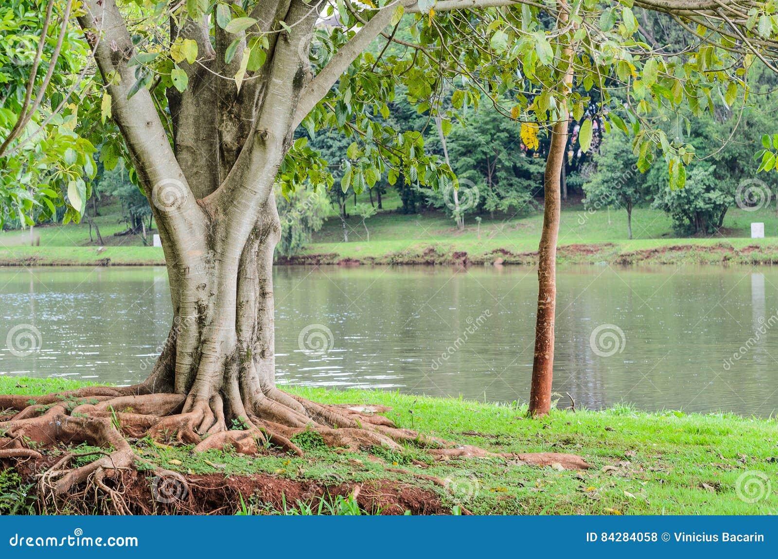 arbre avec des racines hors de la terre devant le lac igapo photo stock image du fonds normal. Black Bedroom Furniture Sets. Home Design Ideas