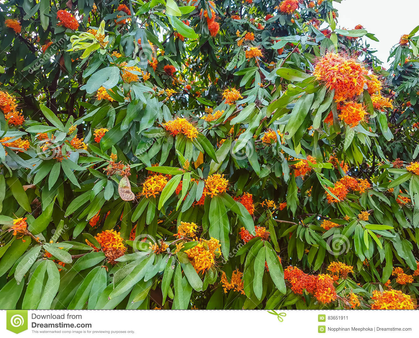 Arbre A Fleur Orange