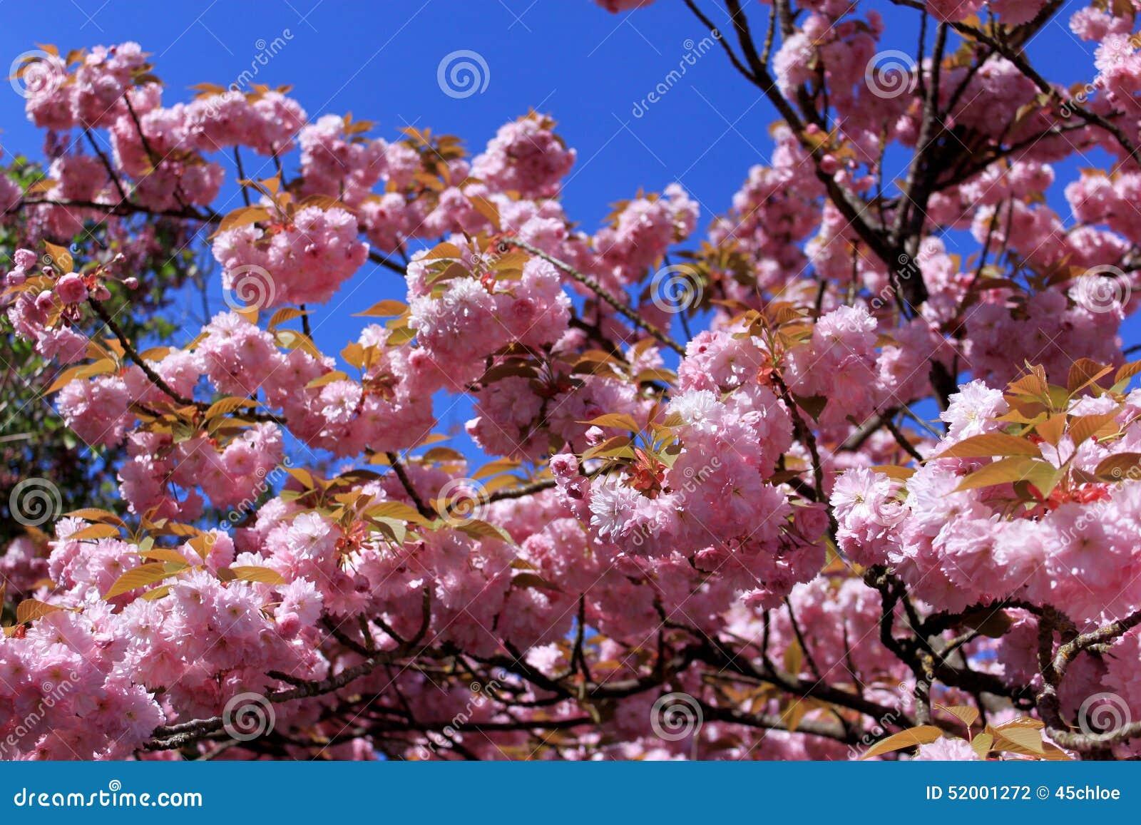 arbre avec les fleurs roses photo stock image 52001272. Black Bedroom Furniture Sets. Home Design Ideas