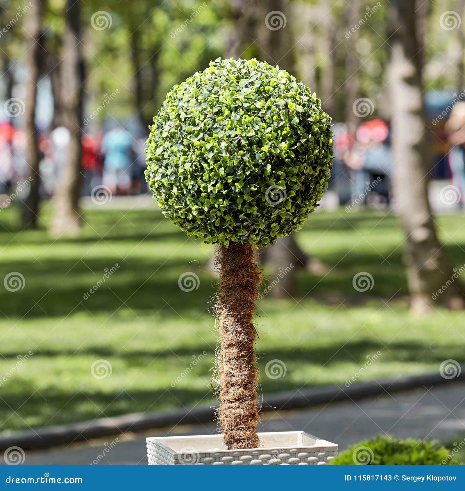 arbre décoratif exotique rond avec les feuilles vertes image stock
