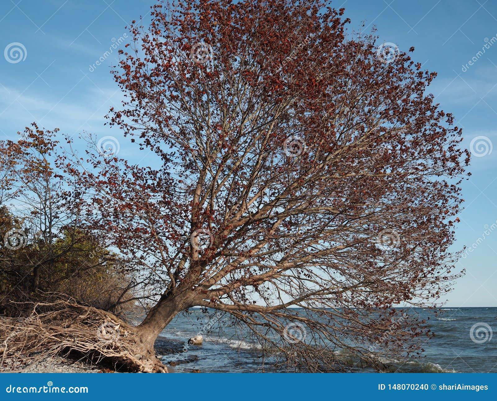 Arbre déraciné dans des couleurs de chute se penchant au-dessus du lac Ontario