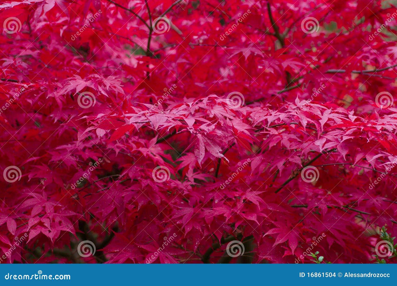 Arbre d 39 rable japonais rouge images stock image 16861504 - Arbre japonais rose ...