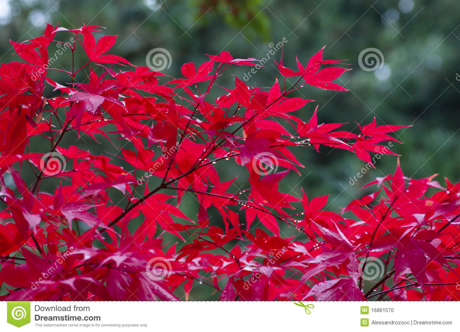 arbre d 39 rable japonais rouge photo stock image 16861570. Black Bedroom Furniture Sets. Home Design Ideas