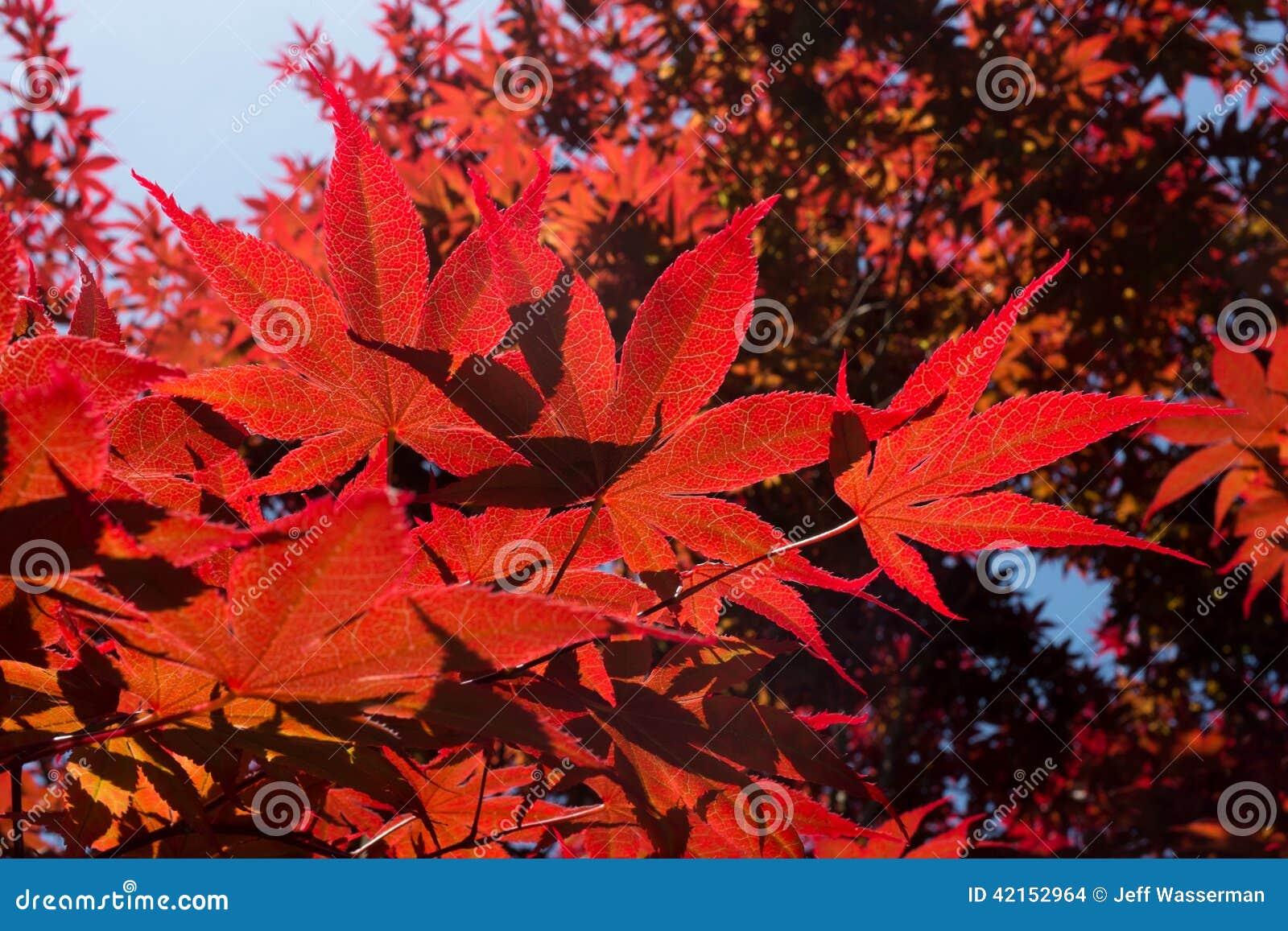 arbre d 39 rable japonais rouge photo stock image 42152964. Black Bedroom Furniture Sets. Home Design Ideas