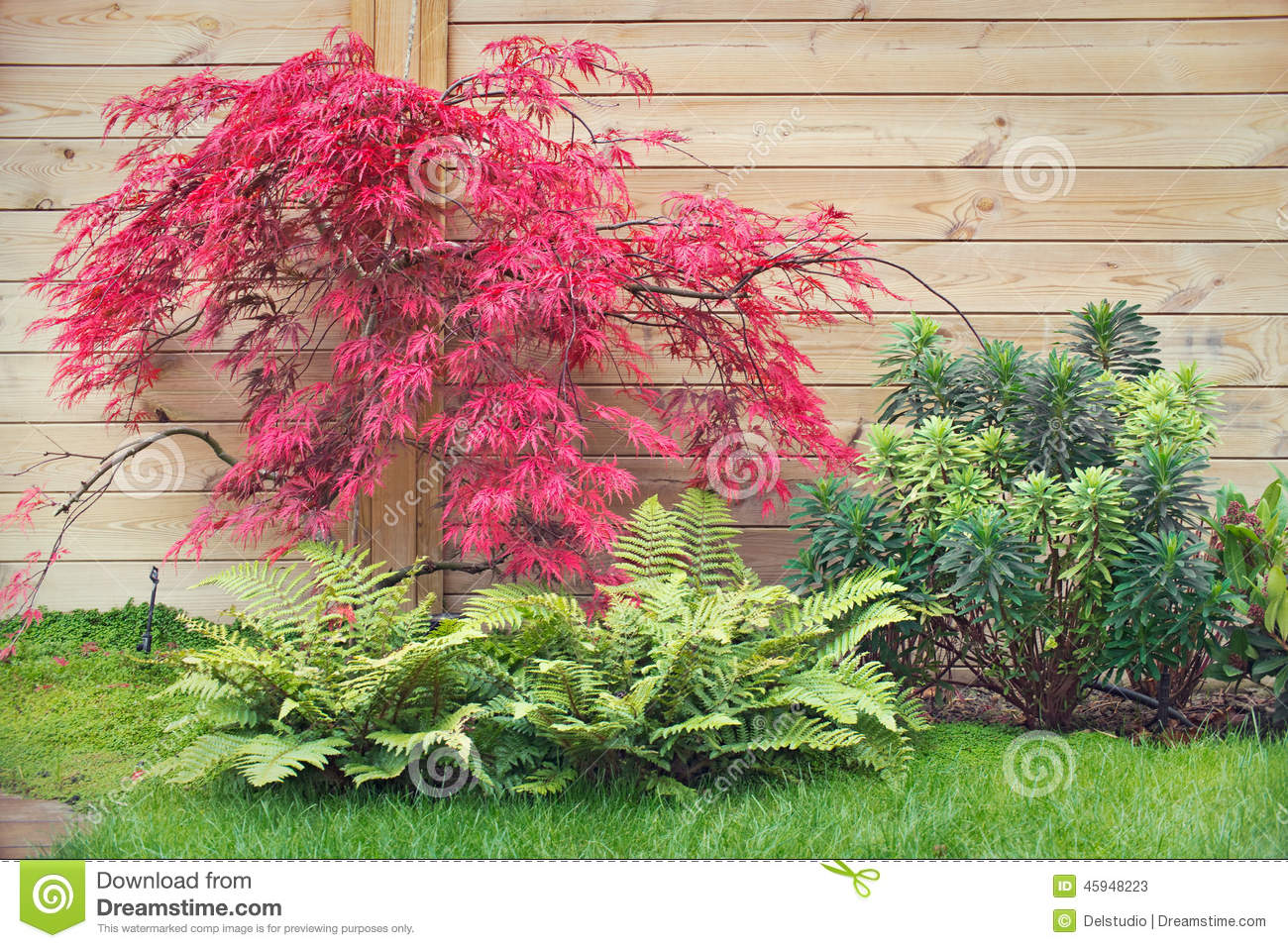 Arbre Dérable Japonais Rouge Photo stock  Image 45948223