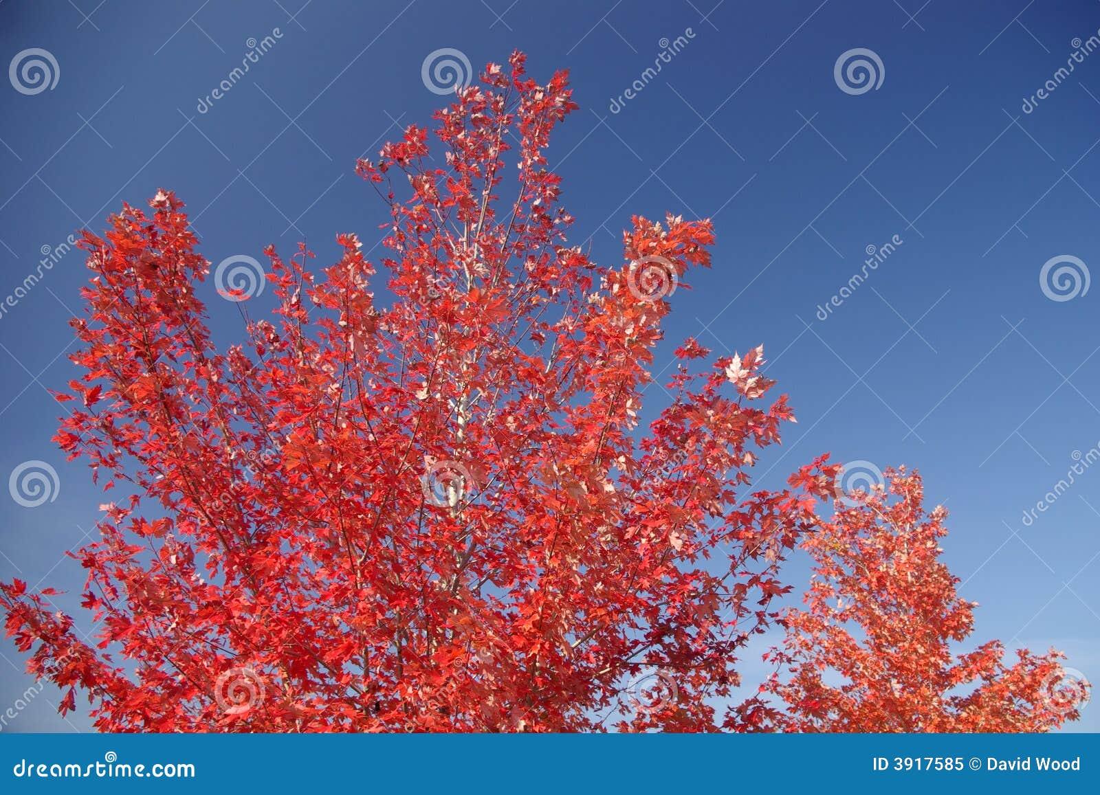 Arbre d érable rouge