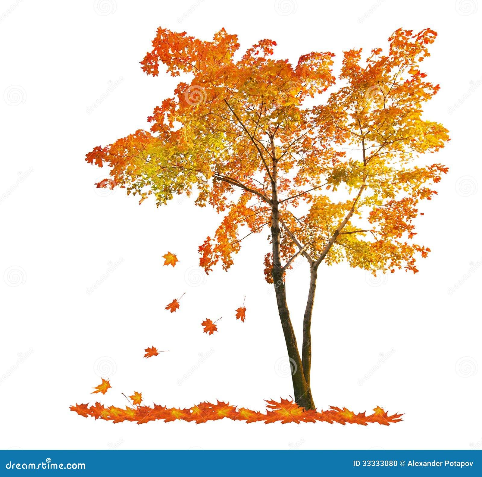 arbre d 39 rable rouge d 39 automne avec les feuilles en baisse photo stock image du blanc. Black Bedroom Furniture Sets. Home Design Ideas