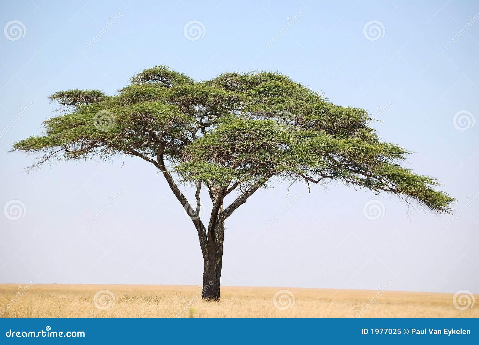 Arbre acacia
