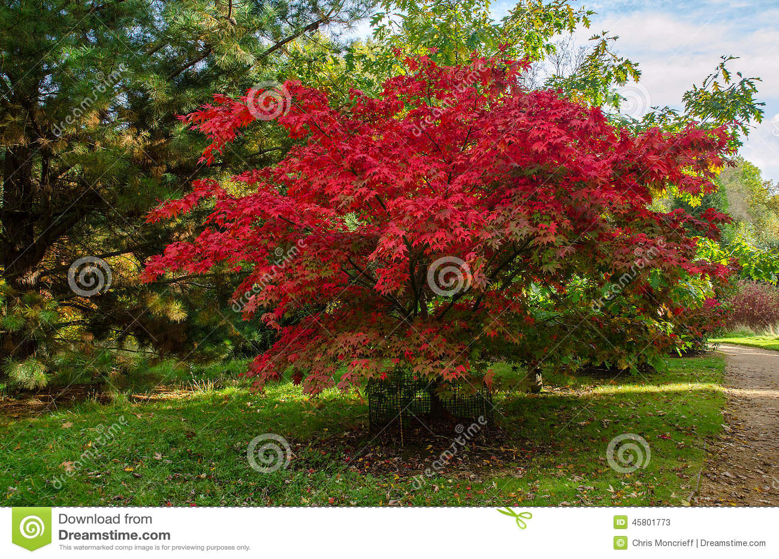 Arbre d 39 acer palmatum photo stock image 45801773 - Arbre persistant croissance rapide ...