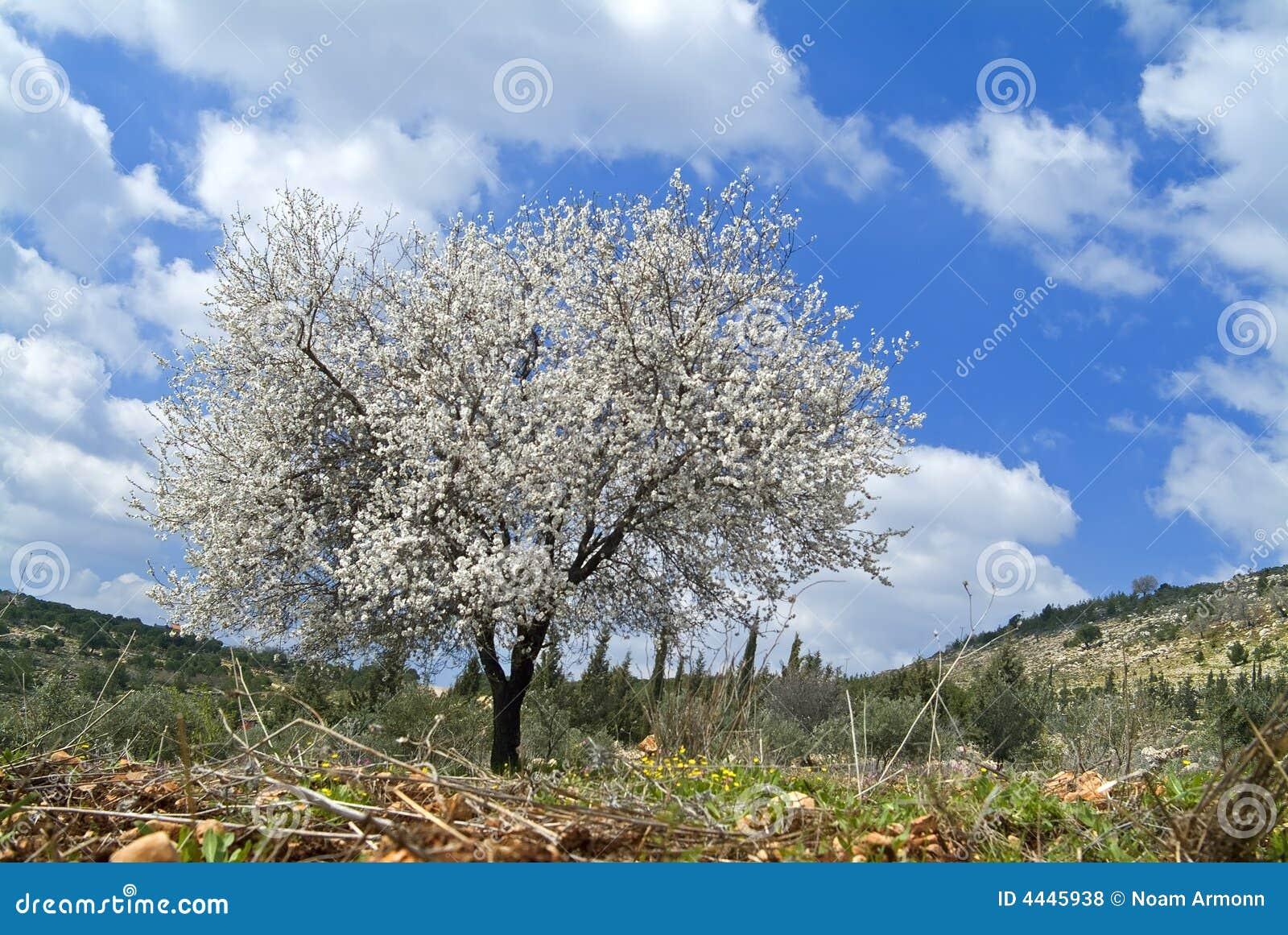 arbre d 39 amande en fleur photo stock image du amande beau 4445938. Black Bedroom Furniture Sets. Home Design Ideas