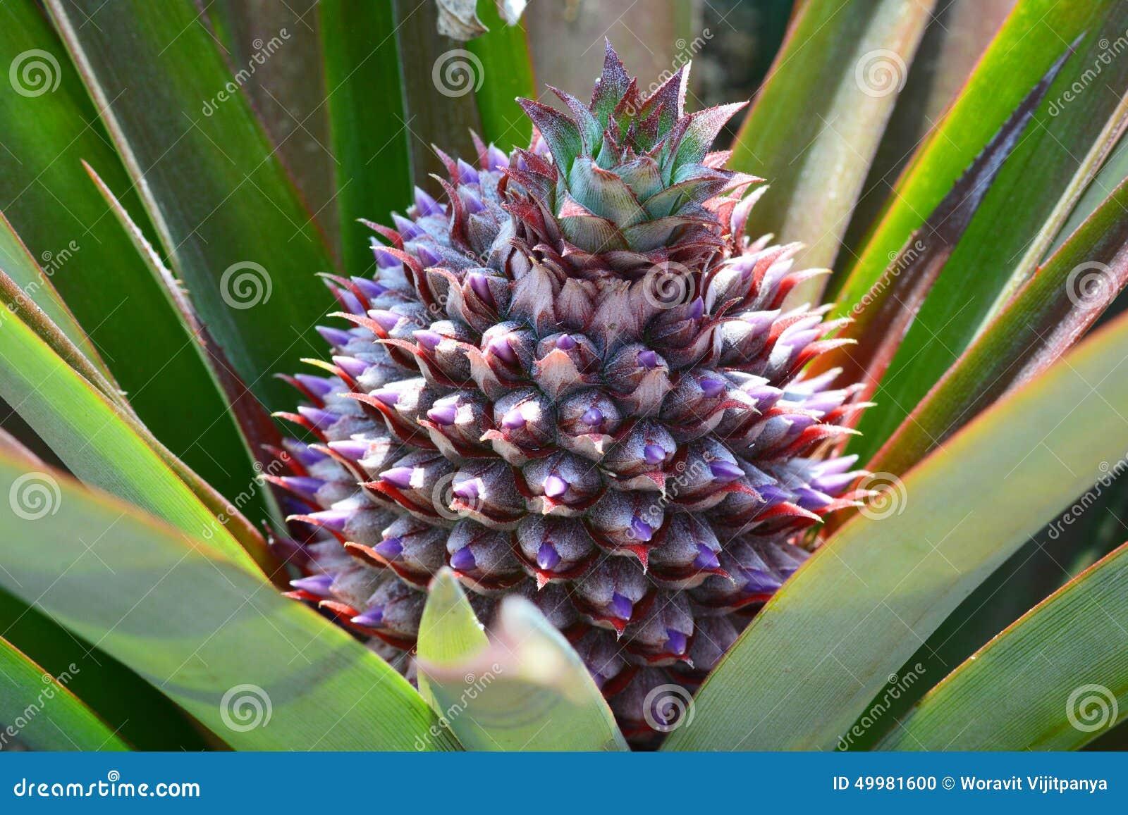 arbre d 39 ananas cru photo stock image 49981600. Black Bedroom Furniture Sets. Home Design Ideas